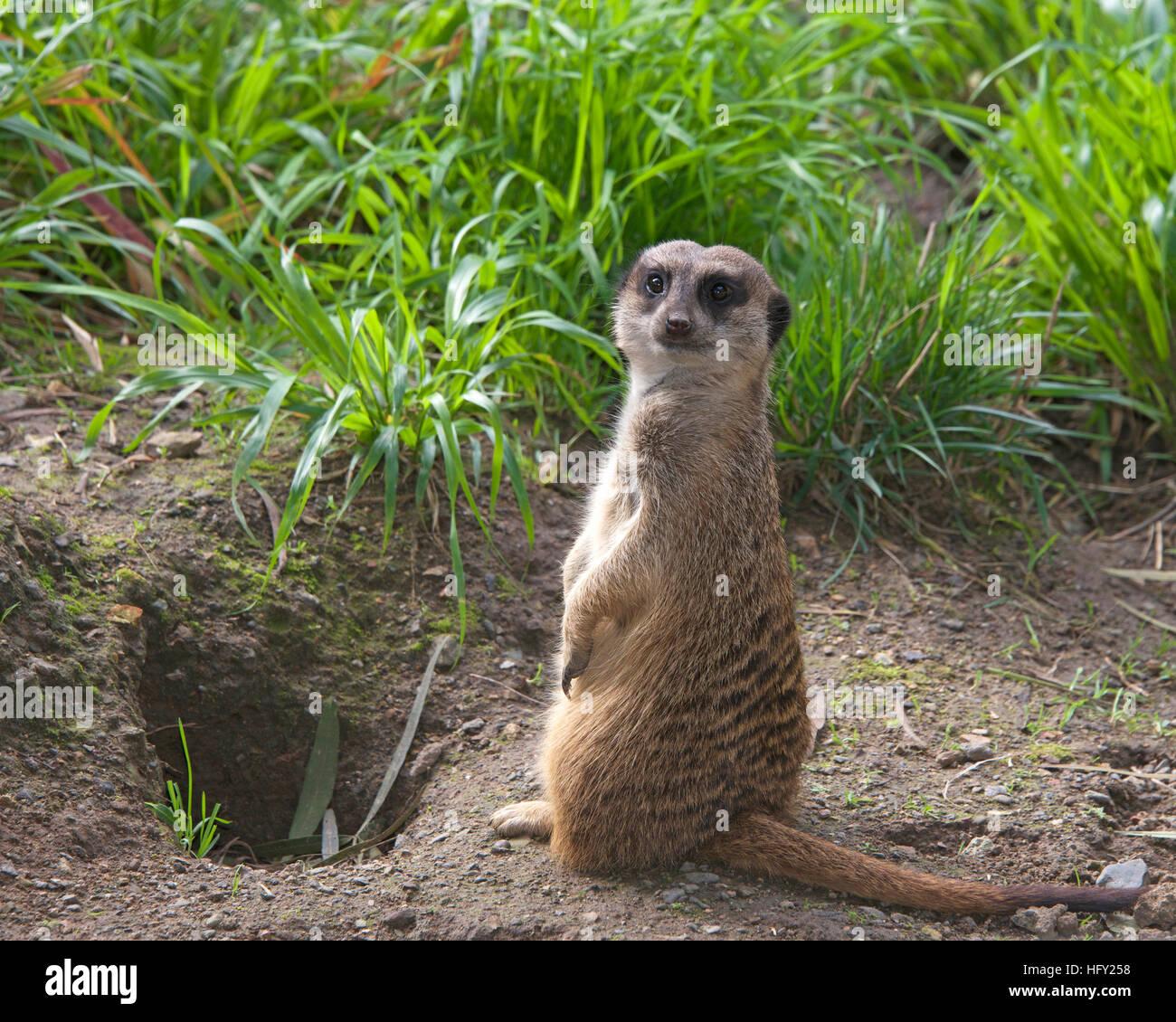 Single meerkat standing up in the grass looking for predators - Stock Image