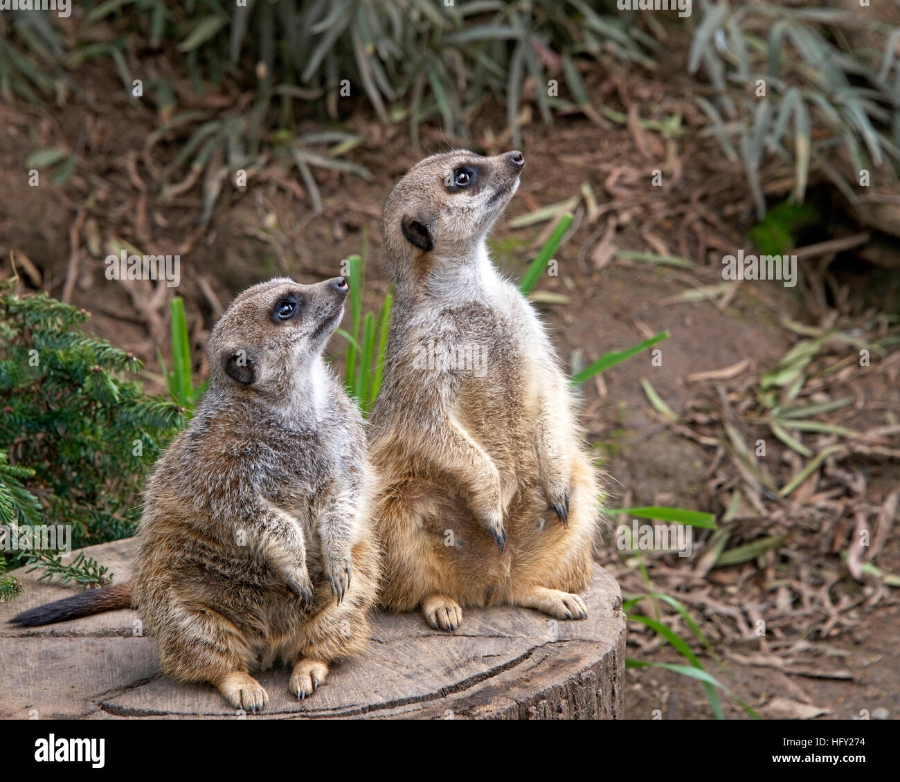 Two meerkats crouched to stand on a cut tree stump looking up to the right for predators. Green leaves in background. - Stock Image