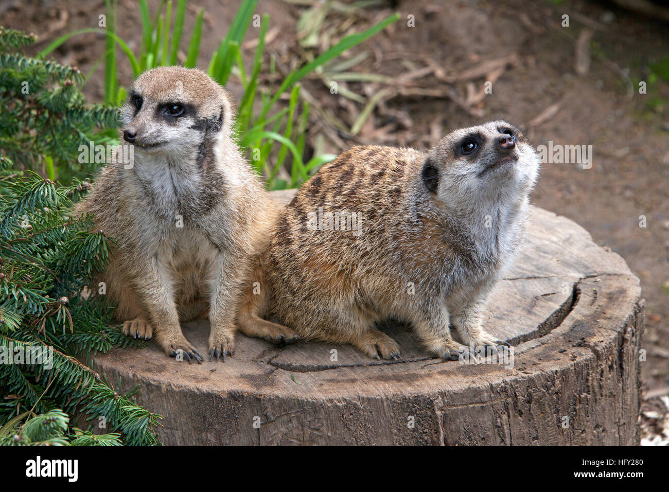 Close up on two meerkats sitting on a cut tree stump looking for predators. One looking to the left one looking - Stock Image