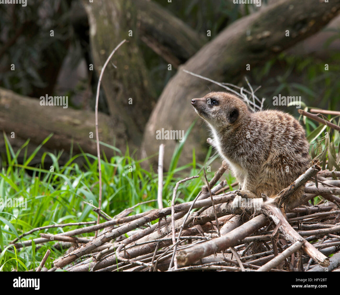 Side view of single meerkat crouched down on a pile of branches, looking for predators in the distance. - Stock Image