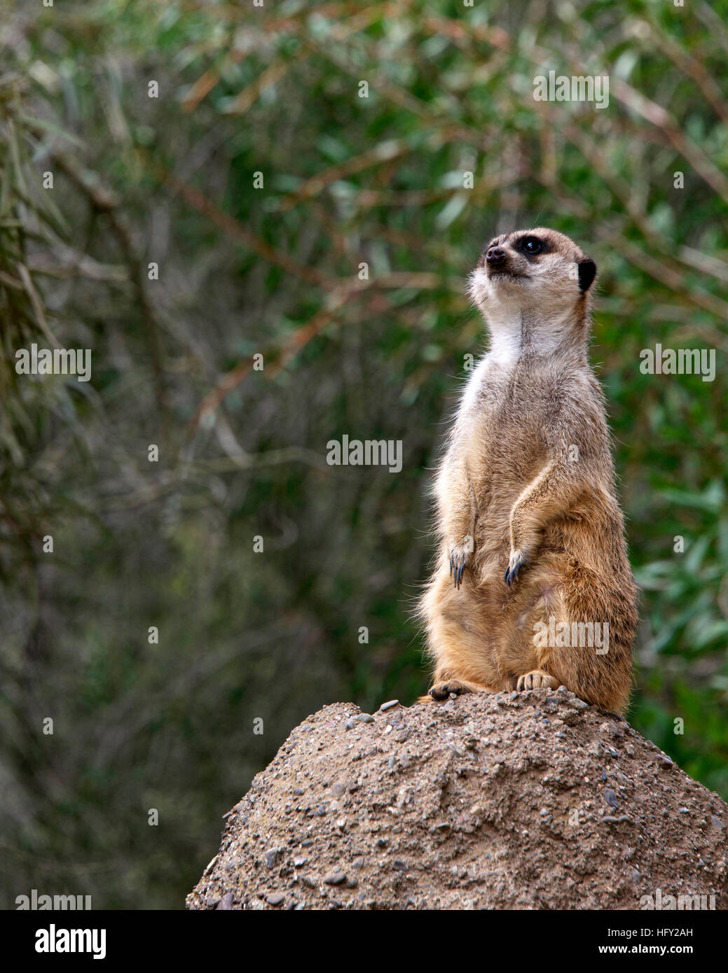 Single meerkat standing on a rock looking out for predators. Green leaves soft focus in background. - Stock Image