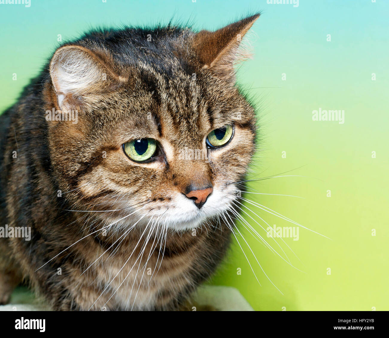 Portrait Of A Brown Black And White Tabby Cat With Green Eyes Looking Stock Photo Alamy