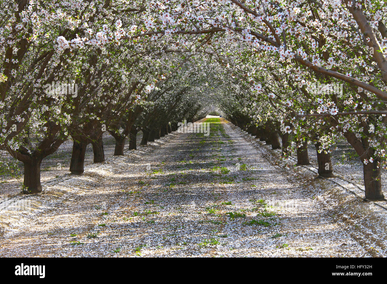 Rows Of Almond Trees Blooming White And Pink Flowers With Petals