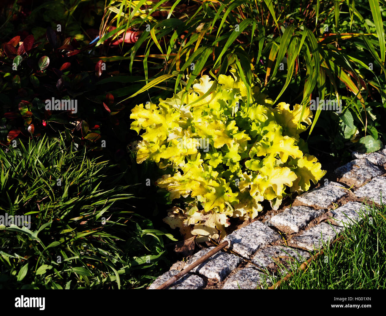 Heuchera (coral bells, alumroot) 'Lime Marmalade' with Hakonechloa (Hakone grass) and Luzula pilosa 'Igel' - Stock Image