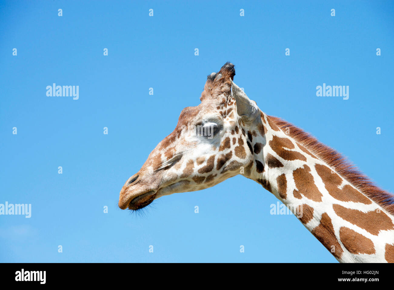 portrait of a giraffe with clear blue sky background - Stock Image