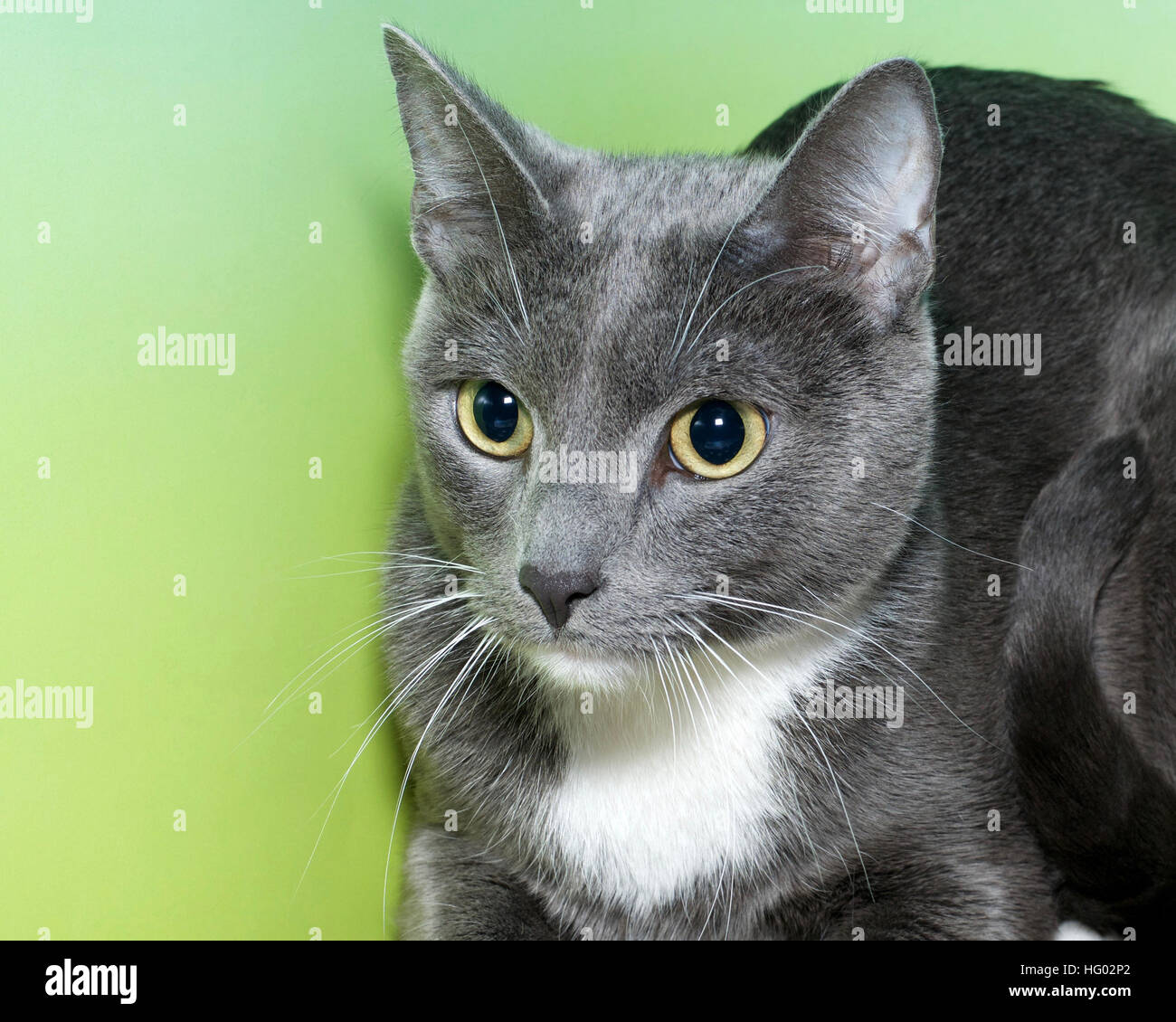 Gray And White Bedroom Furniture: Gray And White Short Hair Cat With Yellow Green Eyes