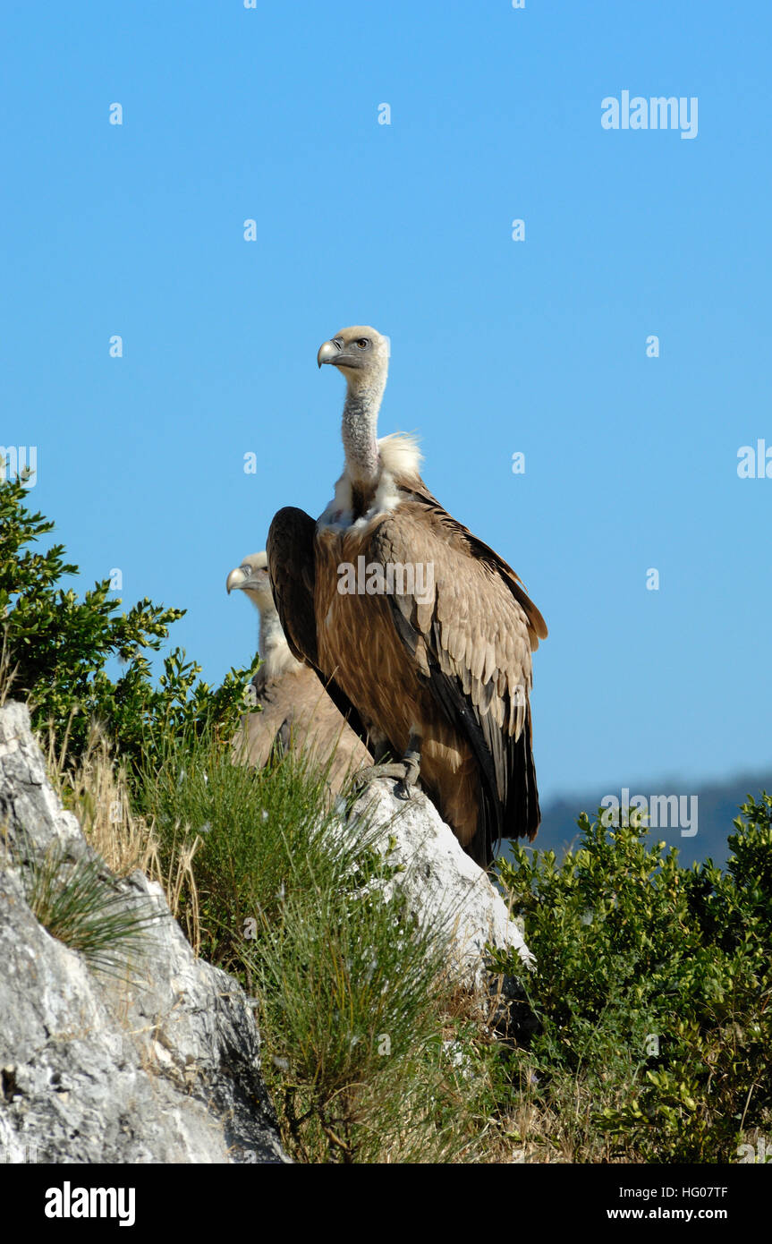 Griffon Vulture, Gyps fulvus, Perched on Rock and Cliffs in the Verdon Gorge Provence France Stock Photo