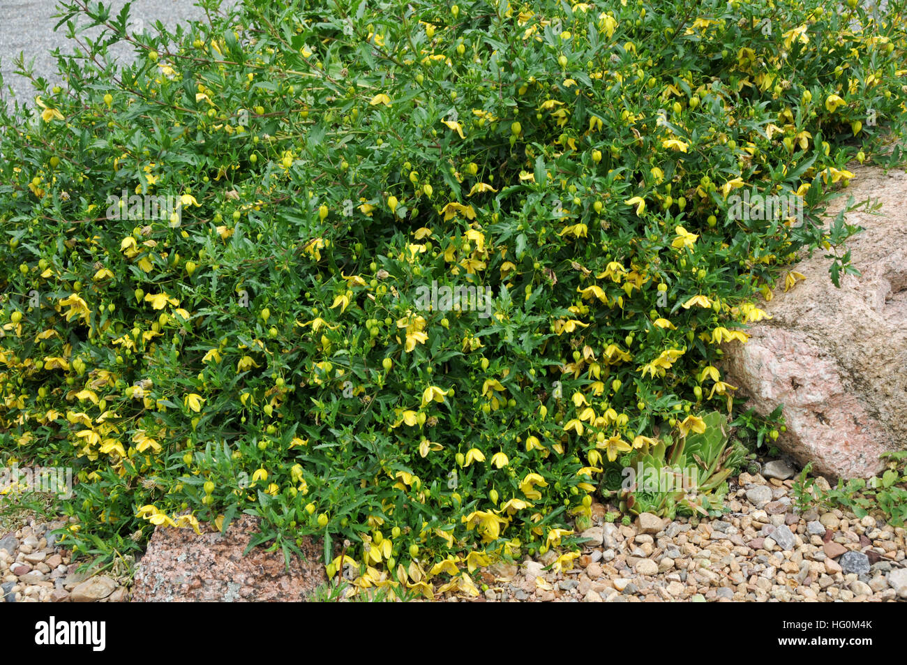 Hanging Shrub With Yellow Flowers Stock Photo 130322883 Alamy