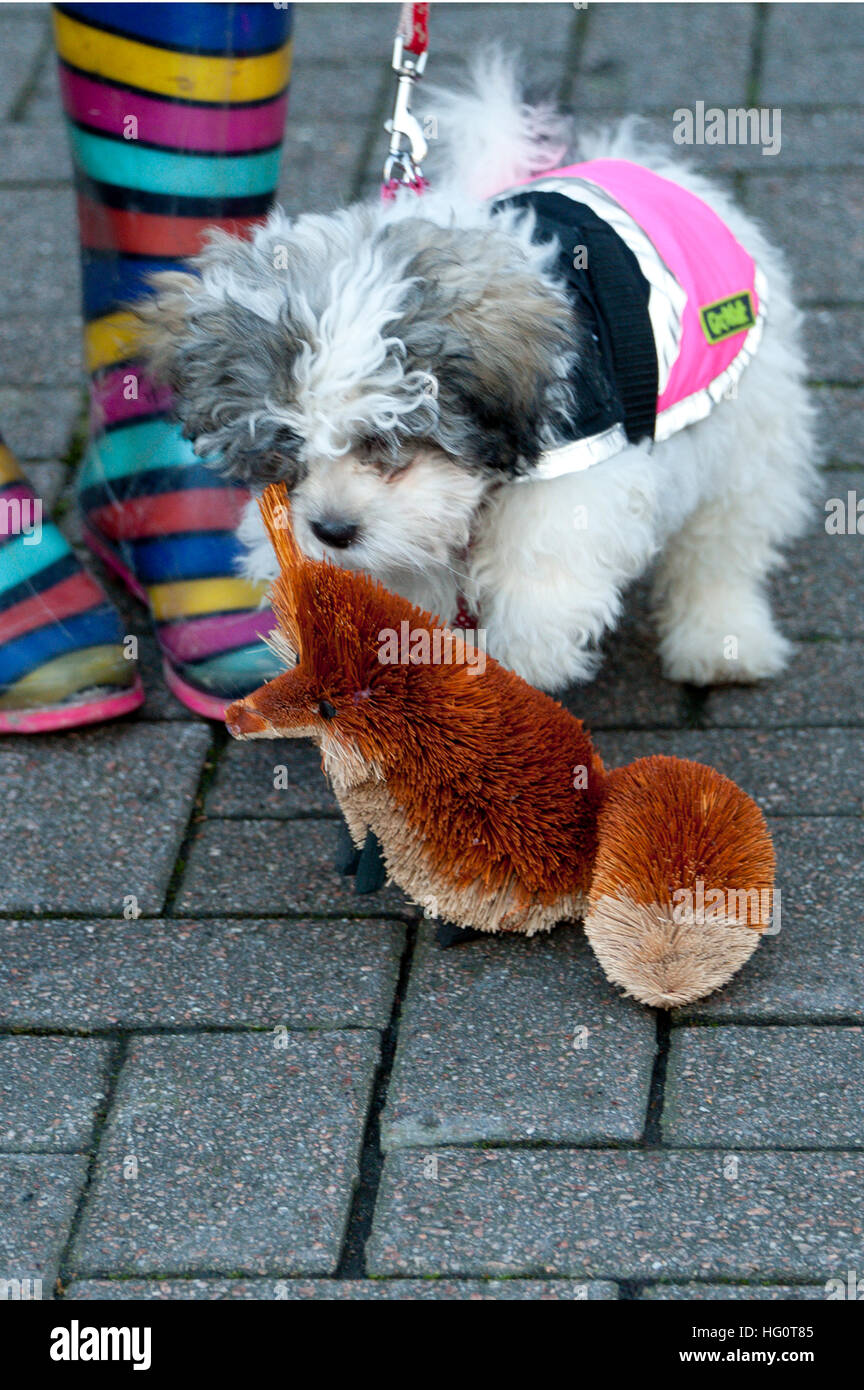 Carmarthen, Carmarthenshire, Wales, UK. 2nd January, 2016. A protester's small dog makes friends with a toy - Stock Image