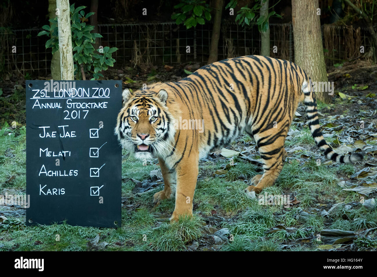 London, UK. 3rd January, 2017. Sumatran tigers. London Zoo (ZSL) Annual Animal Stocktake performed every January - Stock Image