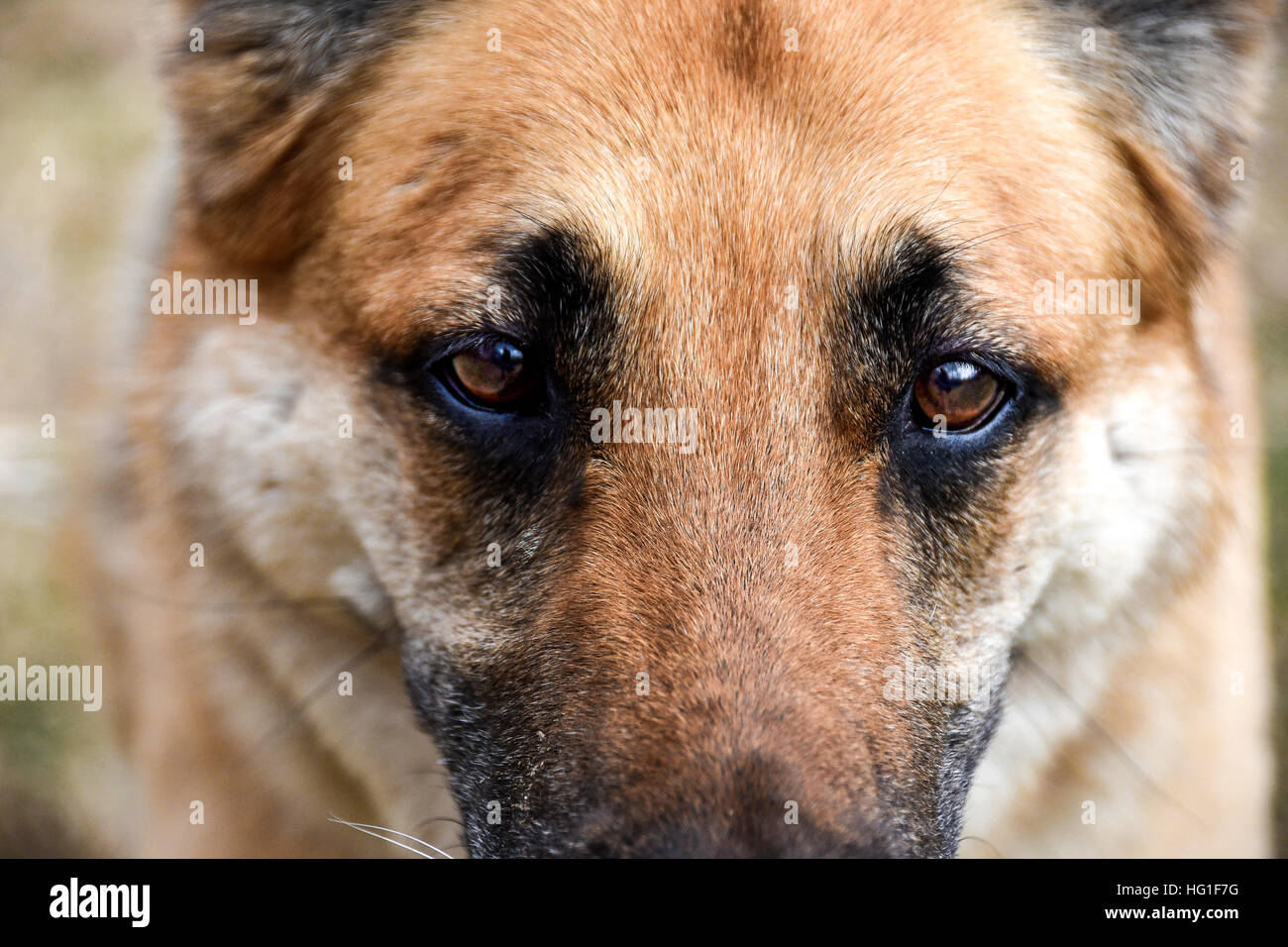 German Shepherd face cropped with focused brown eyes. - Stock Image