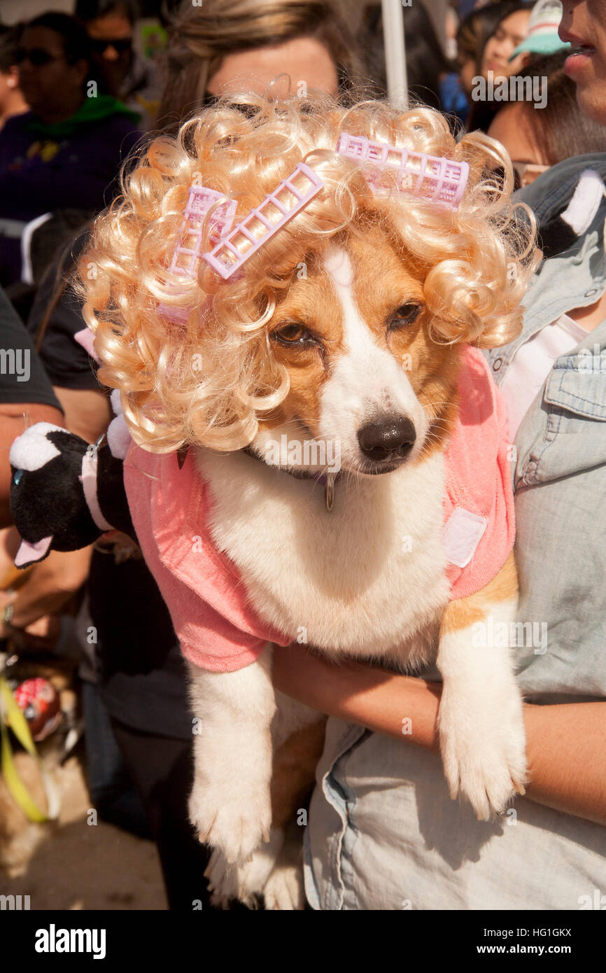 a-welsh-corgi-dog-wears-a-blonde-wig-cur
