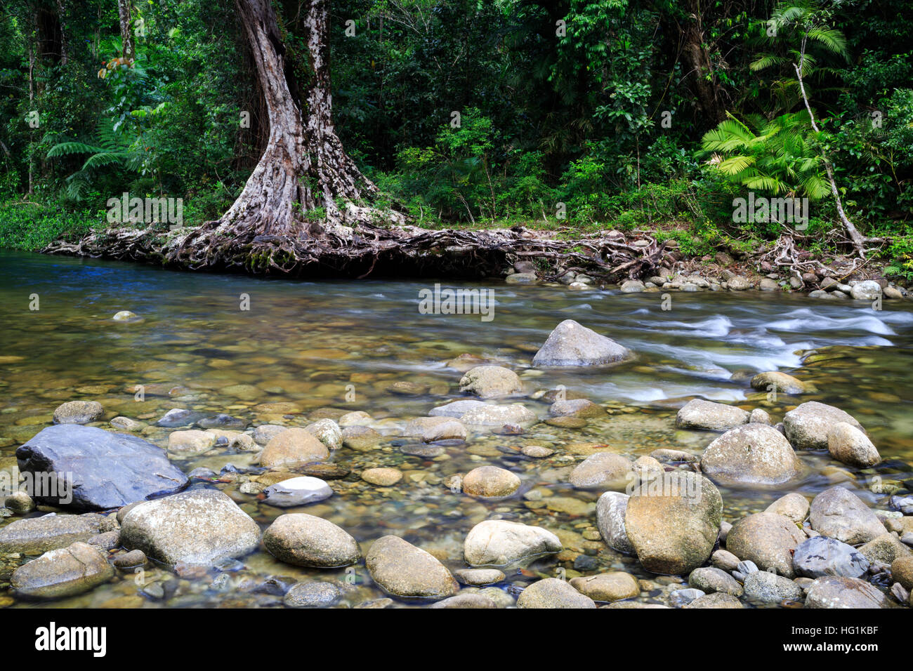 Tree roots exposed due to flooding at Babinda Creek. Far North Queensland, Australia - Stock Image