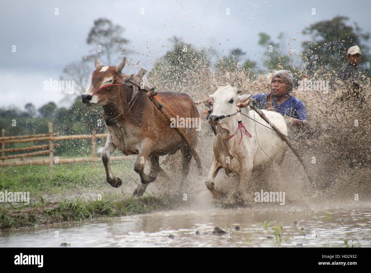 Traditional Bull Racing in Indonesia 26