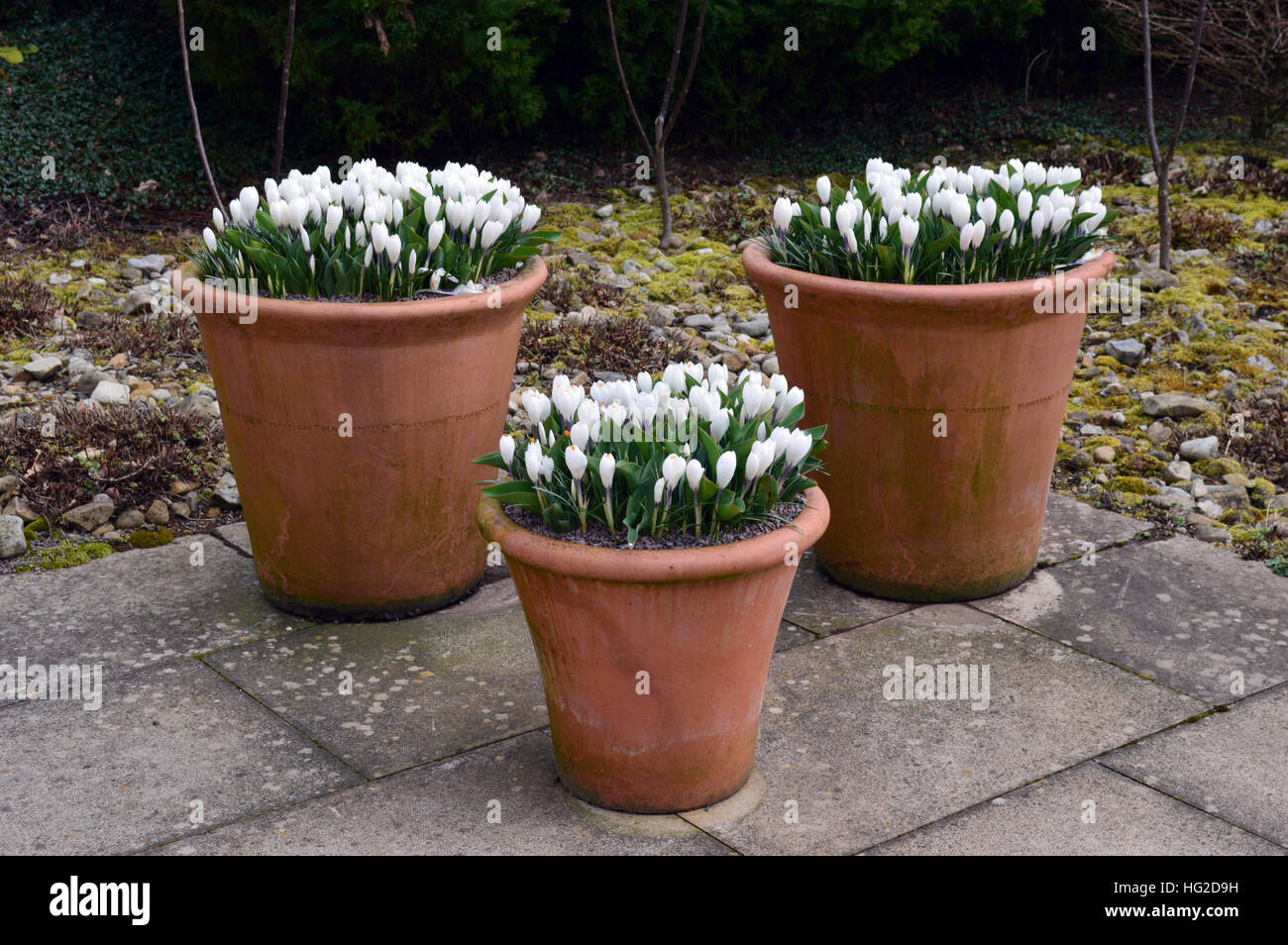 Three Terracotta Containers filled with White Crocus on Display at ...
