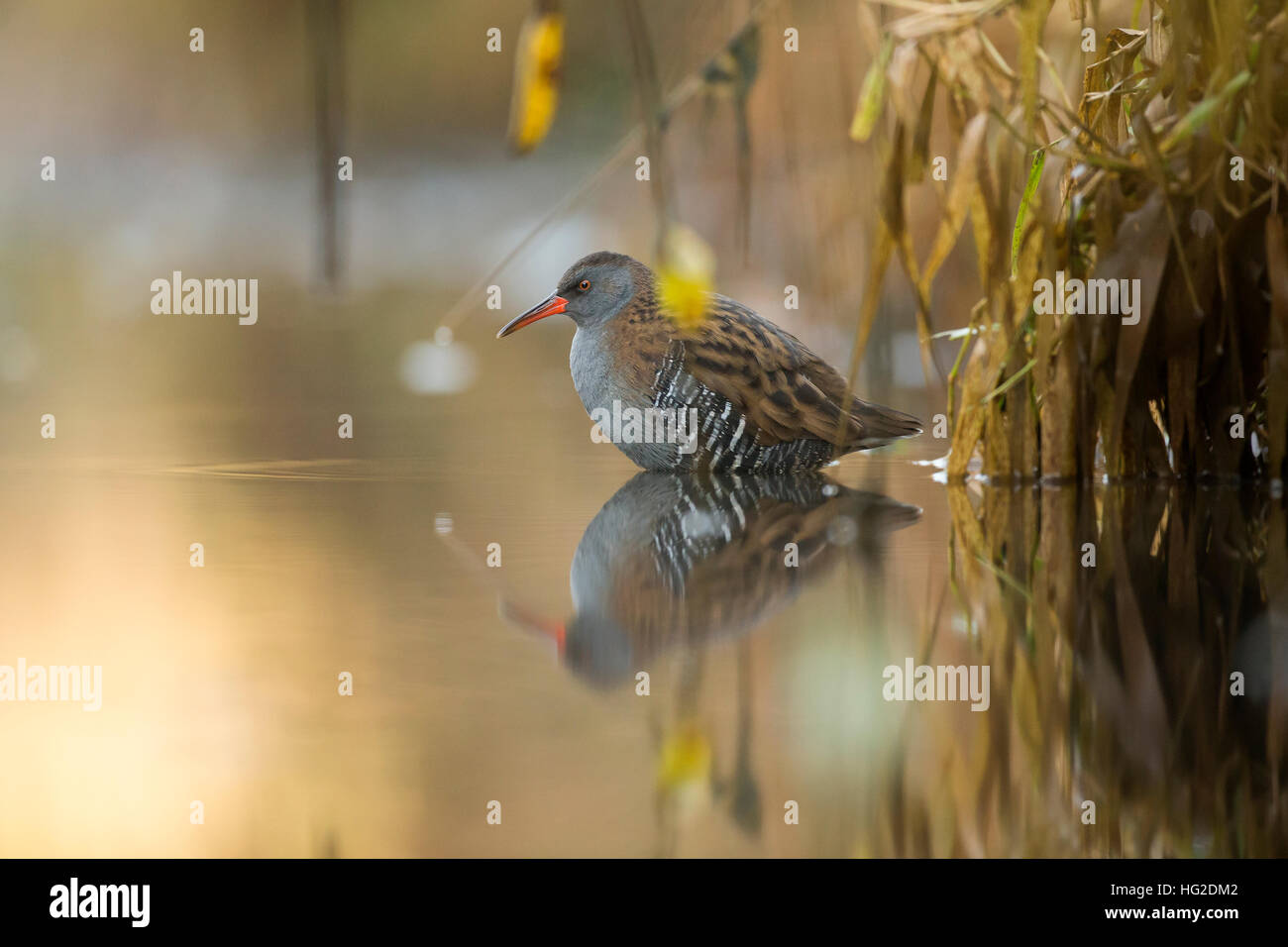 Water Rail (Rallus aquaticus) by the river bank in the early morning light - Stock Image
