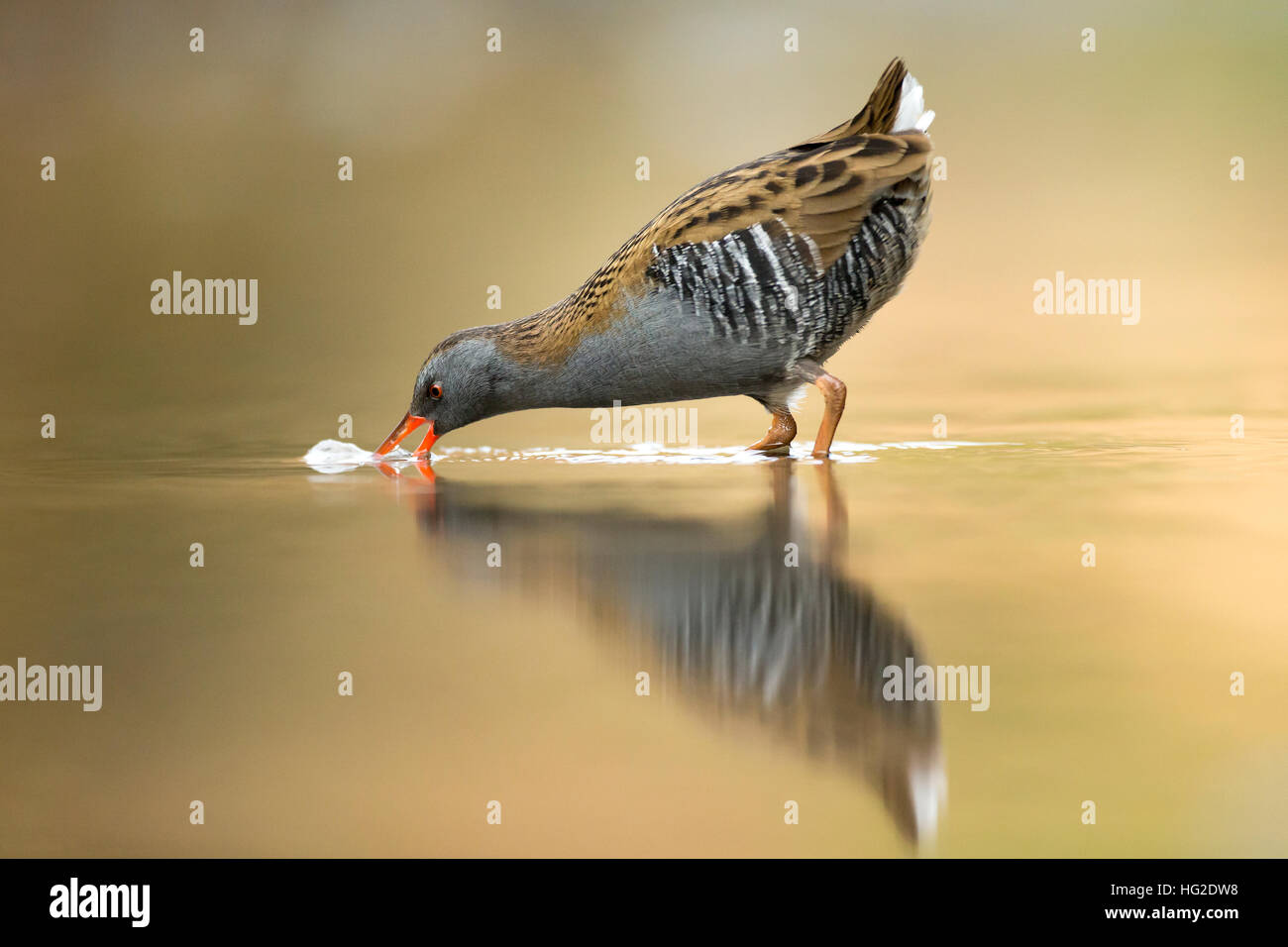 Water Rail (Rallus aquaticus) feeding in the early morning light - Stock Image