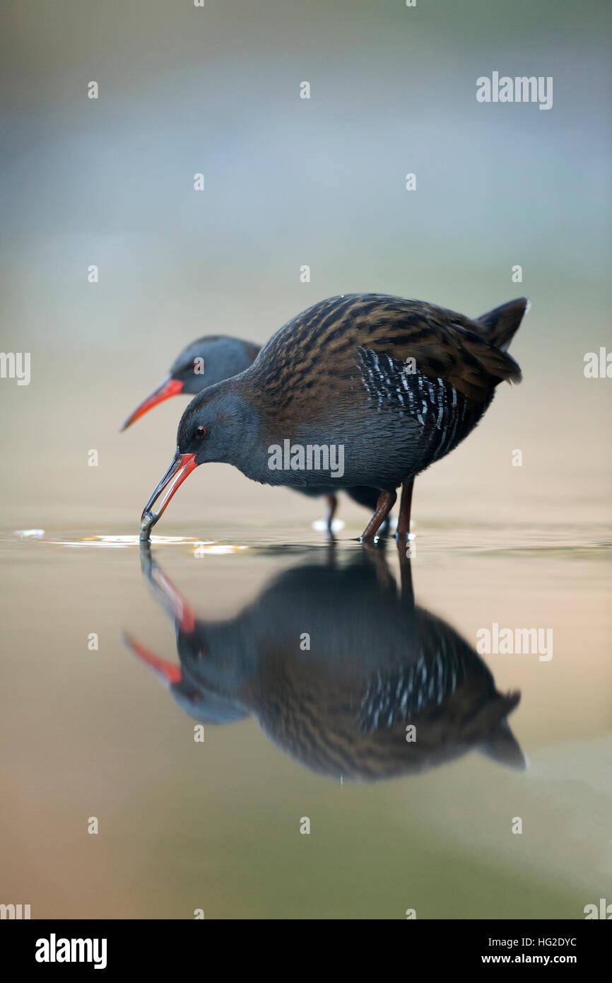 Water Rail (Rallus aquaticus) feeding at first light - Stock Image