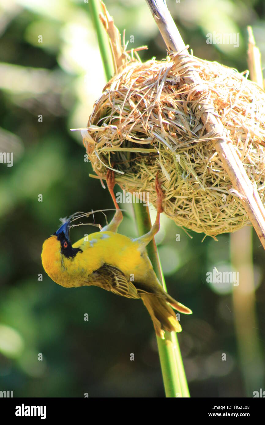 Southern African male Masked Weaver bird taking apart a nest. Stock Photo