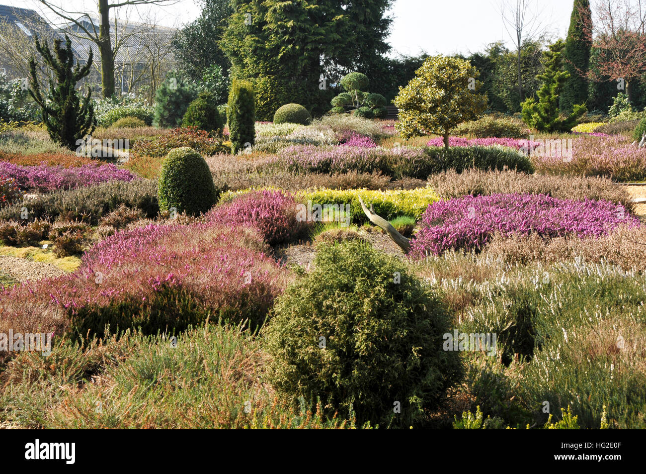 Large heather garden with flowering heathers and conifers - Stock Image