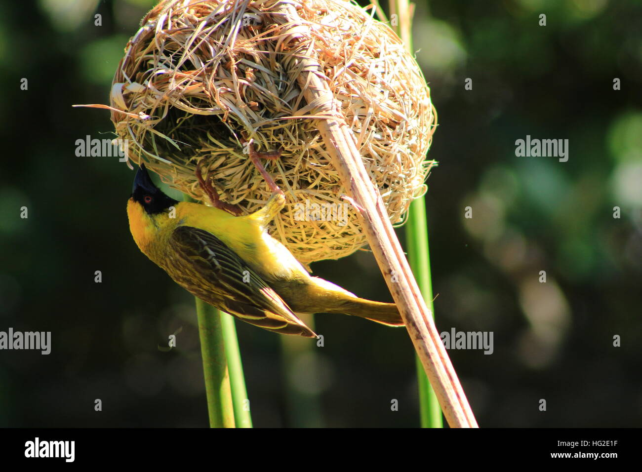 Southern African male Masked Weaver bird taking apart a nest. - Stock Image