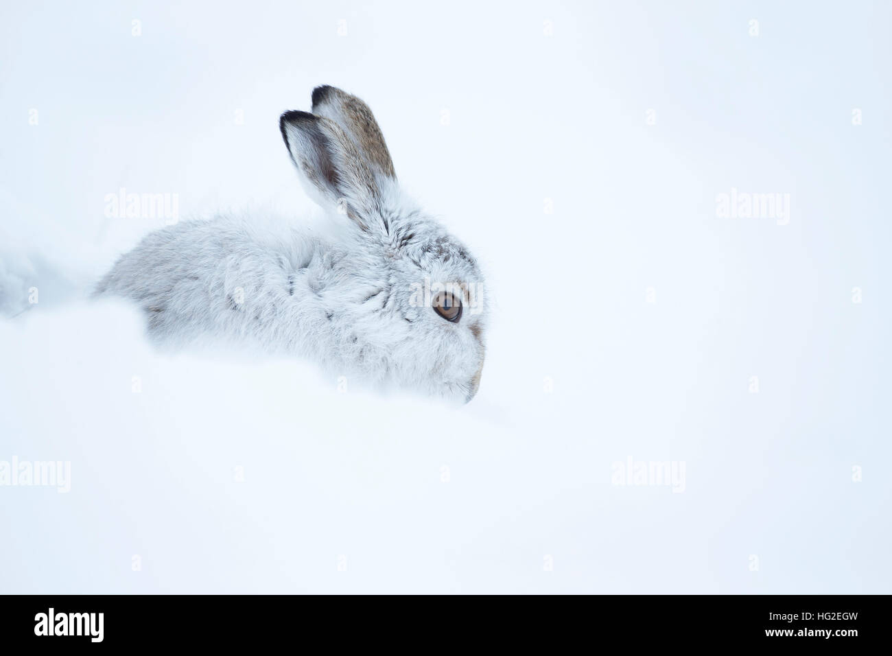 Mountain hare (Lepus timidus) resting in its form in the snow - Stock Image