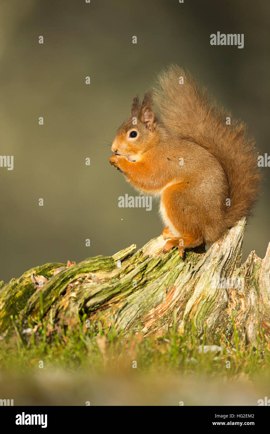 Red Squirrel (Sciurus vulgaris) eating nuts at the foot of a tree - Stock Image
