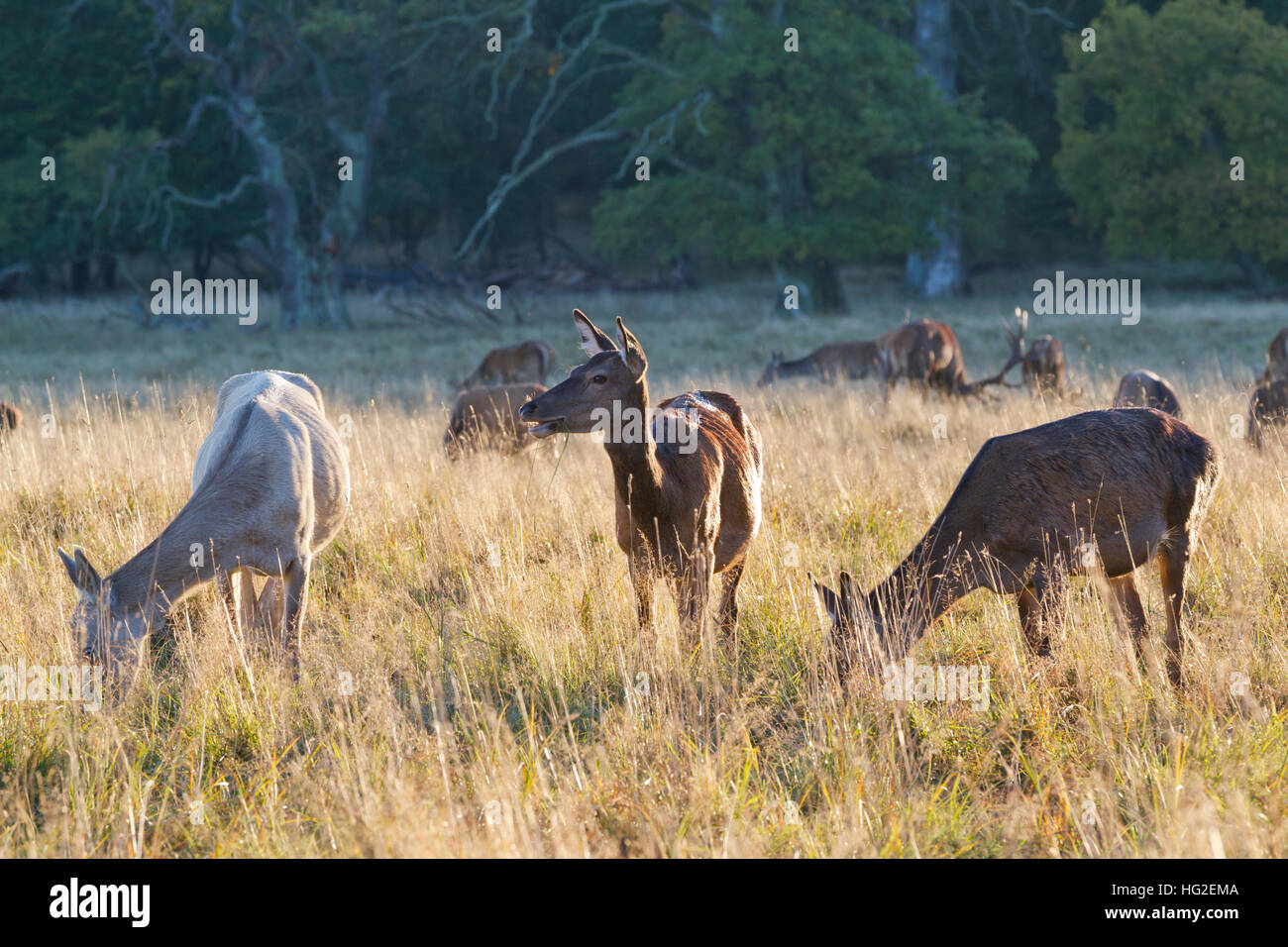 Hinds and stags of red deer grazing in Dyrehaven, The Deer Park, just north of Copenhagen, Denmark, Old oak trees Stock Photo
