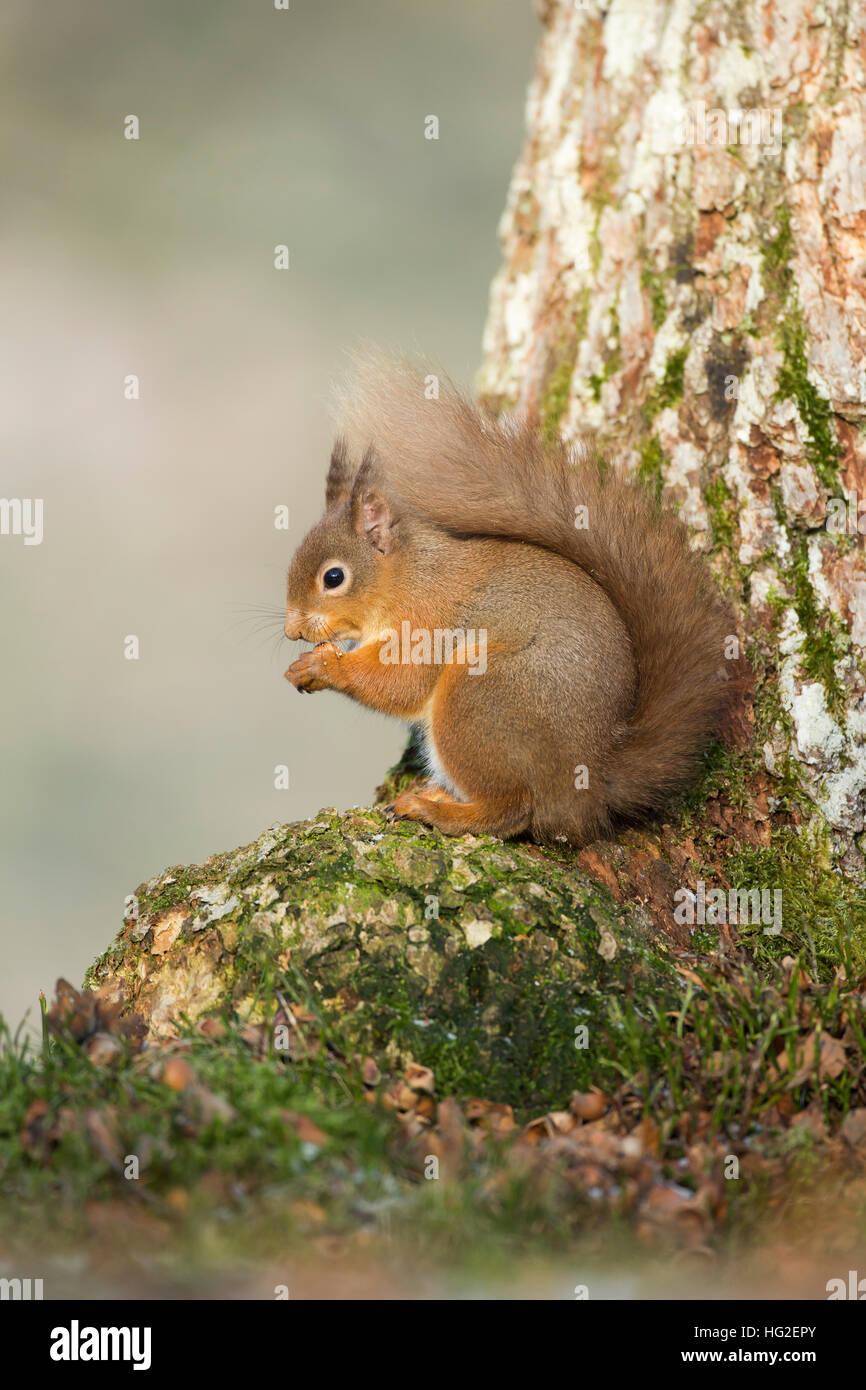 Red Squirrel (Sciurus vulgaris) sitting at base of a tree - Stock Image