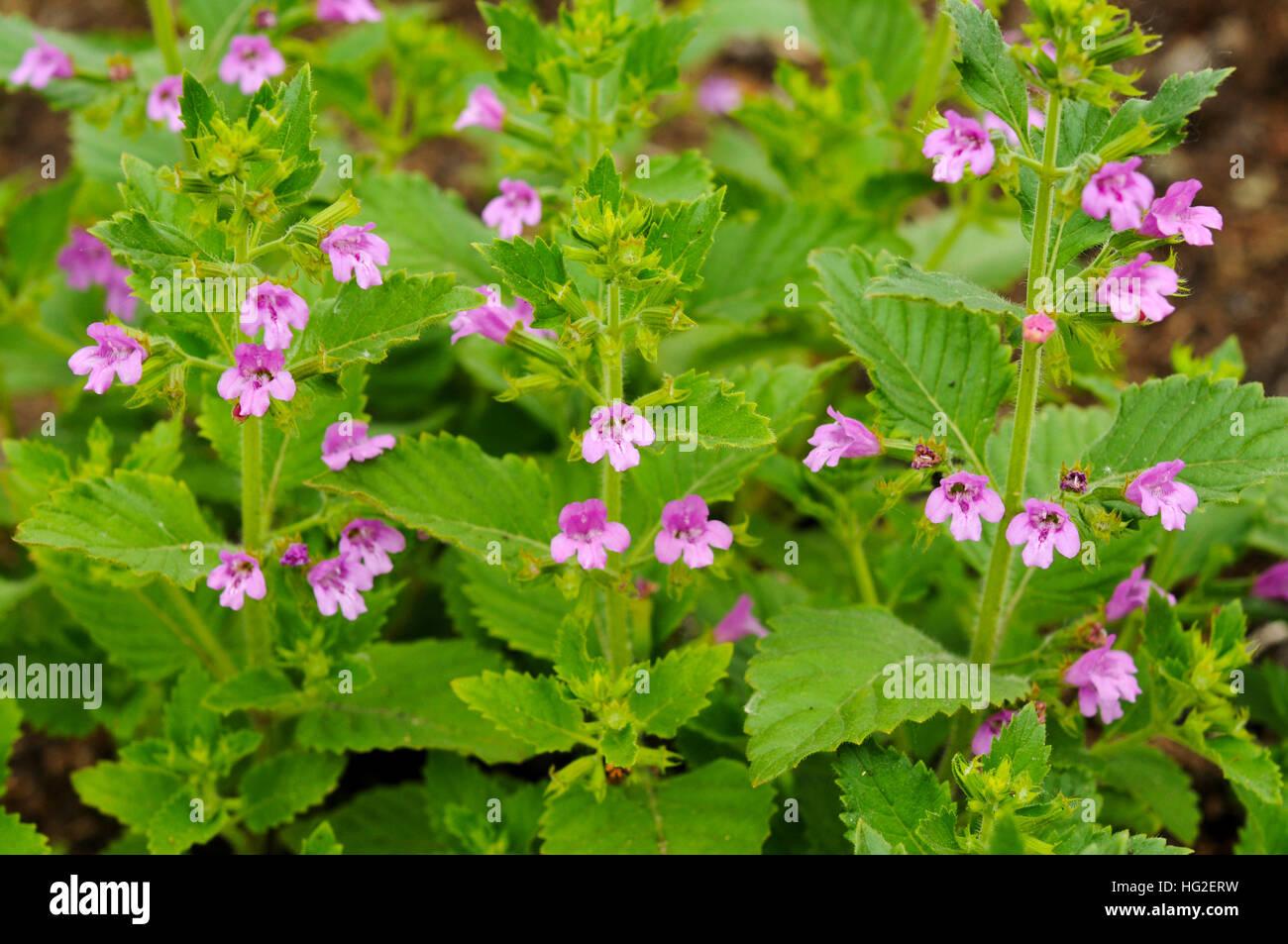 The Pink Flowers Of Calamintha Grandiflora Stock Photo Alamy