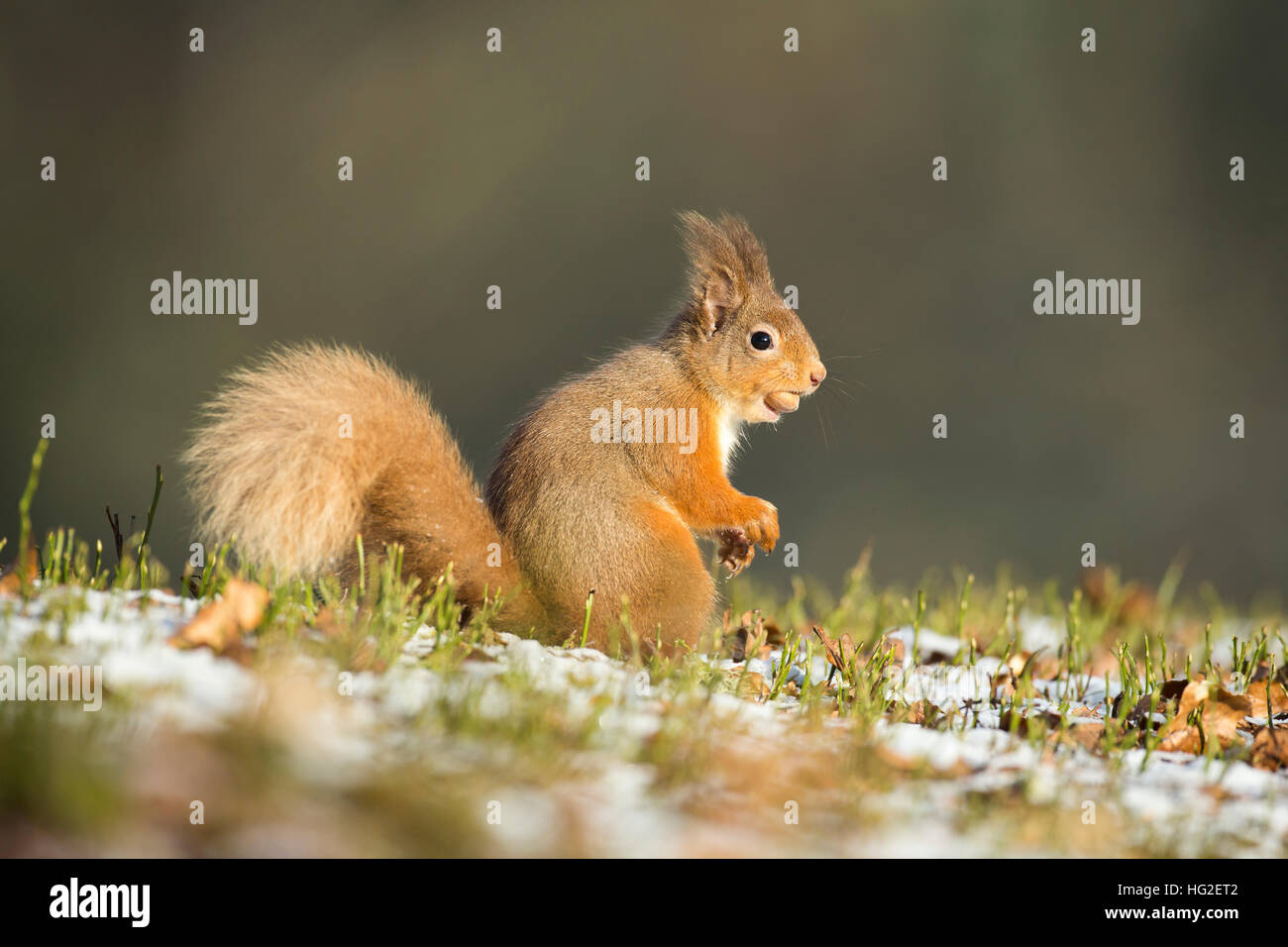 Red Squirrel (Sciurus vulgaris) searching for nuts during winter - Stock Image
