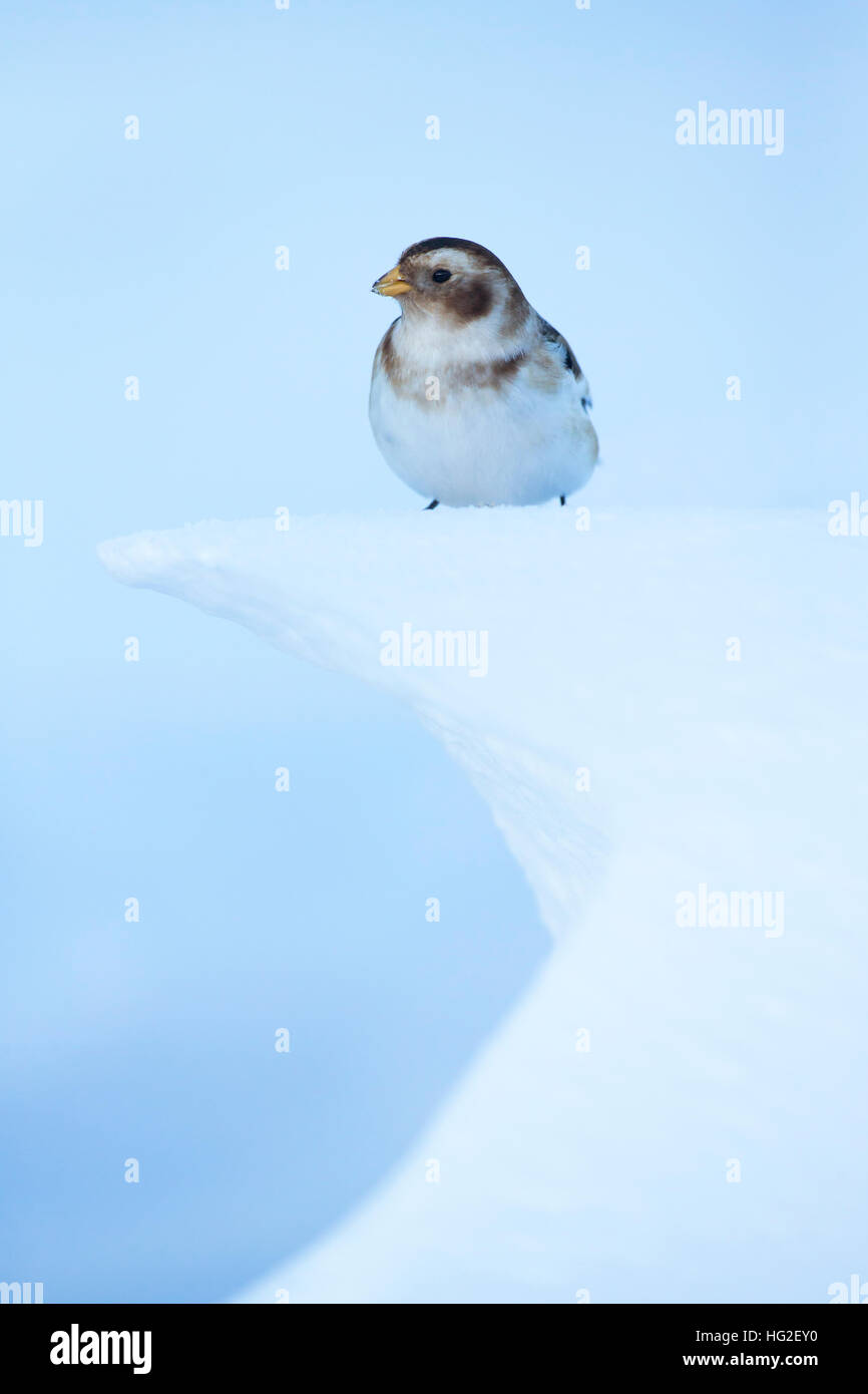 Snow Bunting (Plectrophenax nivalis) in snow searching for food during winter - Stock Image