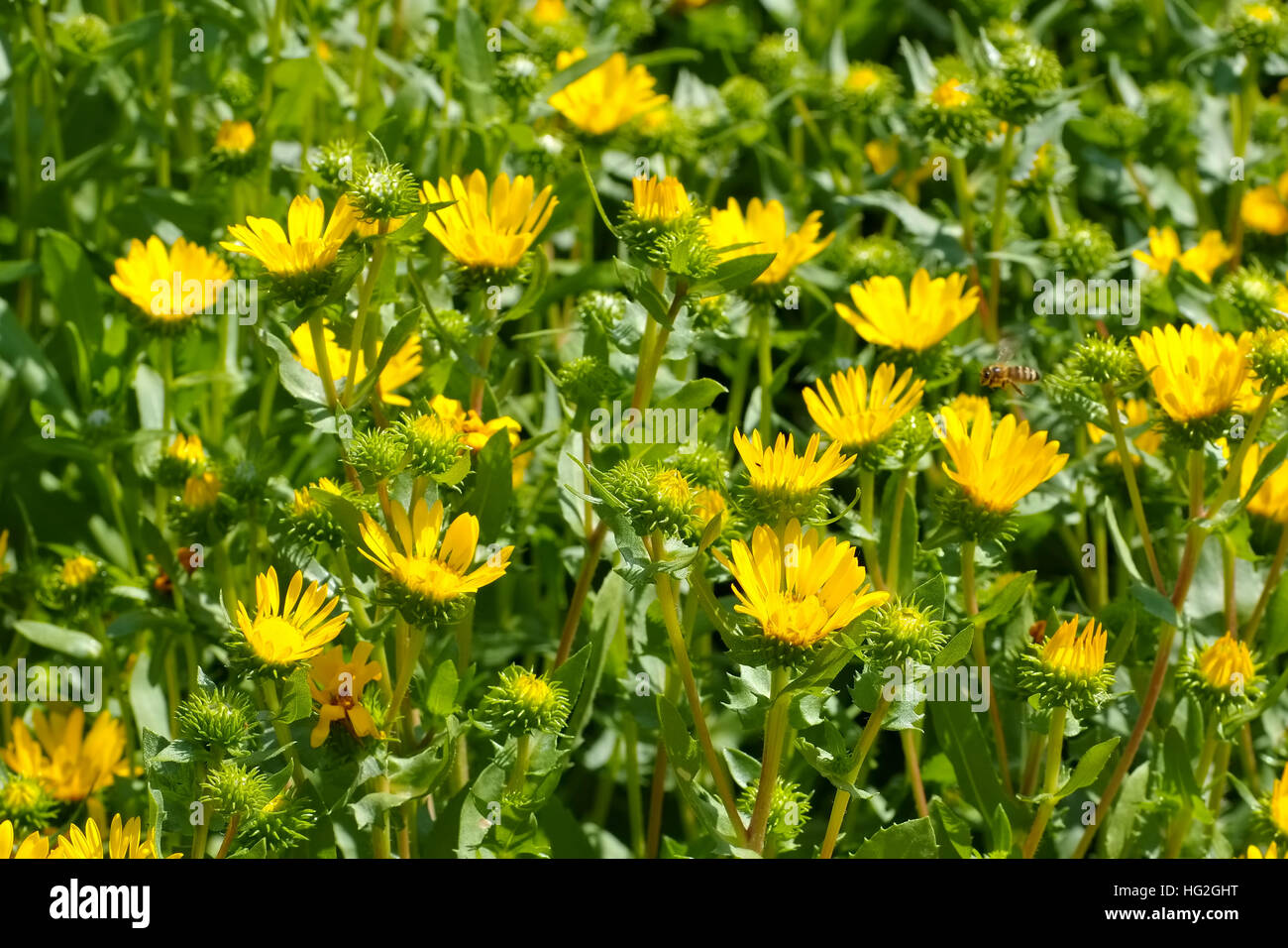 die Heilpflanze Grindelie, Grindelia robusta - the herbal plant gumweed, Grindelia robusta - Stock Image