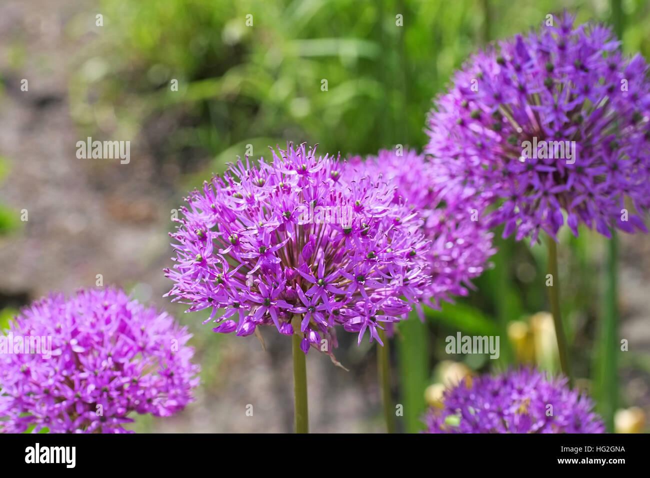 Zierlauch , lila Blumen im Garten - ornamental onion Allium, purple flower balls in garden - Stock Image