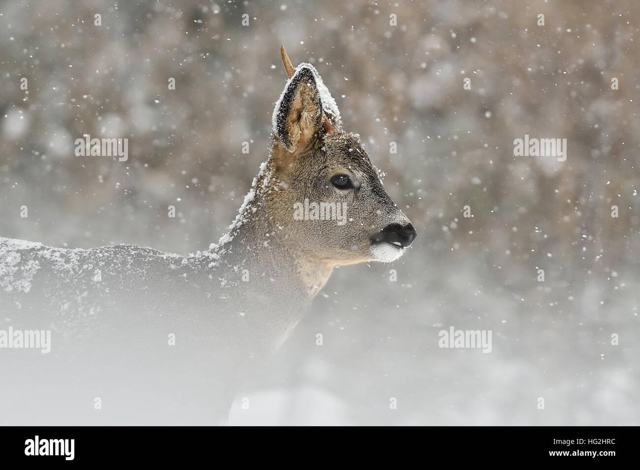 Roe deer in snowfall, winter - Stock Image