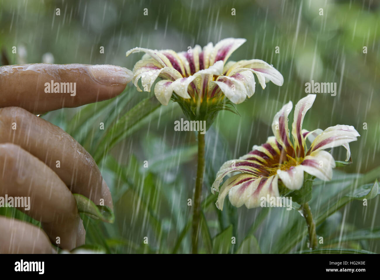 Woman touching a flower in rain - Stock Image