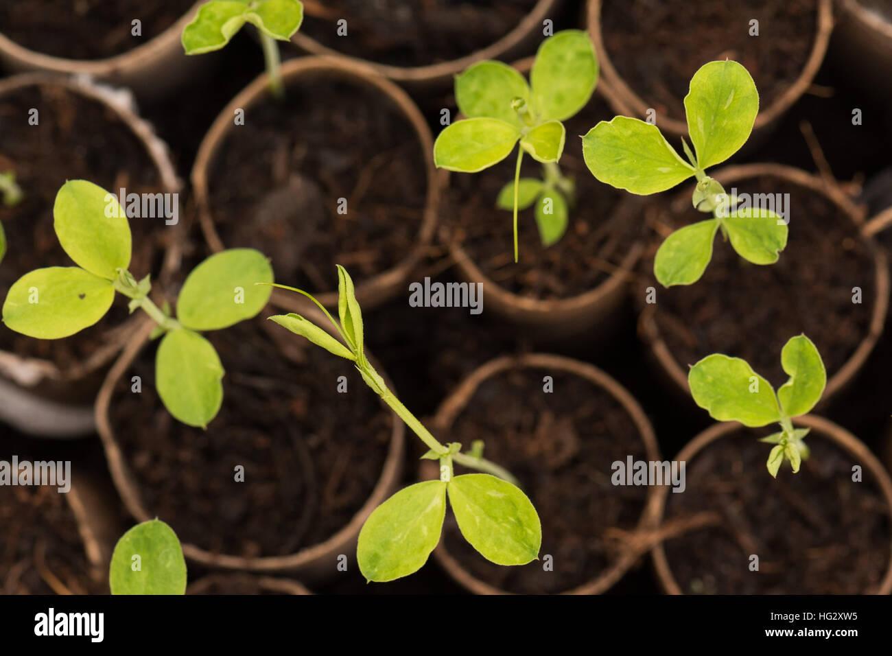 sweet pea lathyrus odoratus seedlings growing in recycled stock