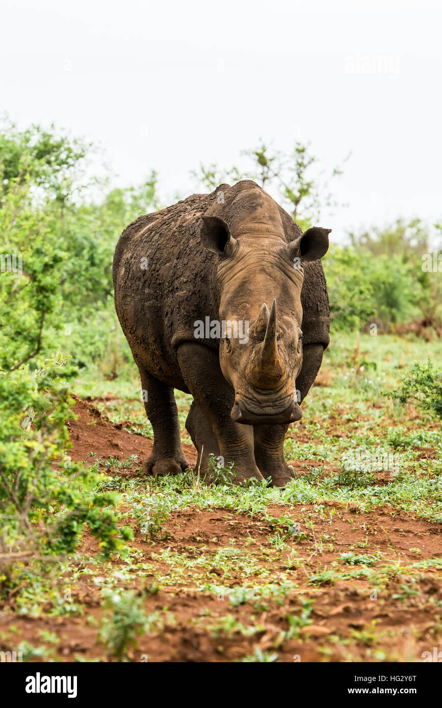 Portrait of white rhino in an open field in South Africa - Stock Image