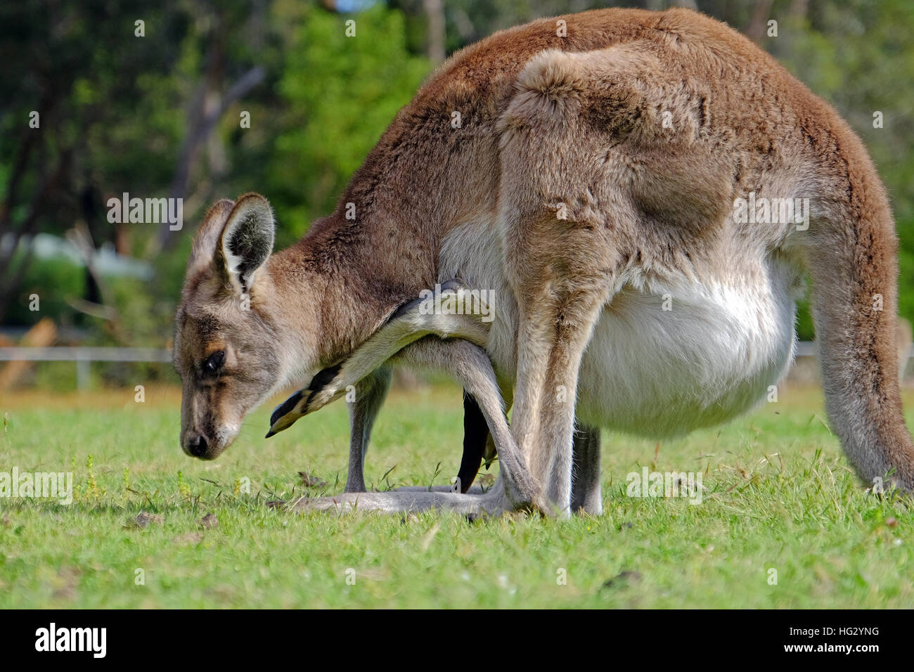 A female kangaroo carrying a juvenile in her pouch - Stock Image
