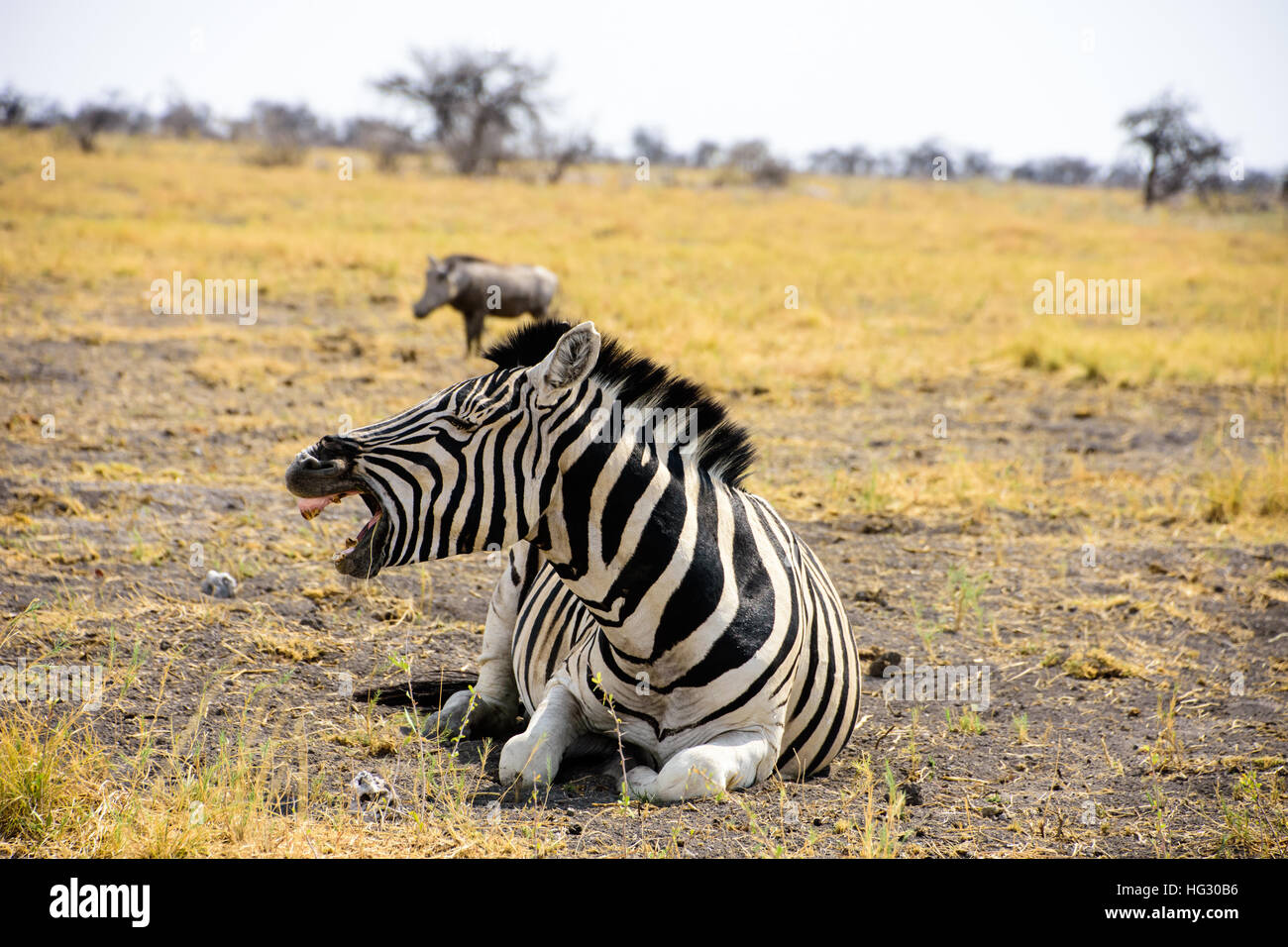 Tired Zebra yawning - Stock Image