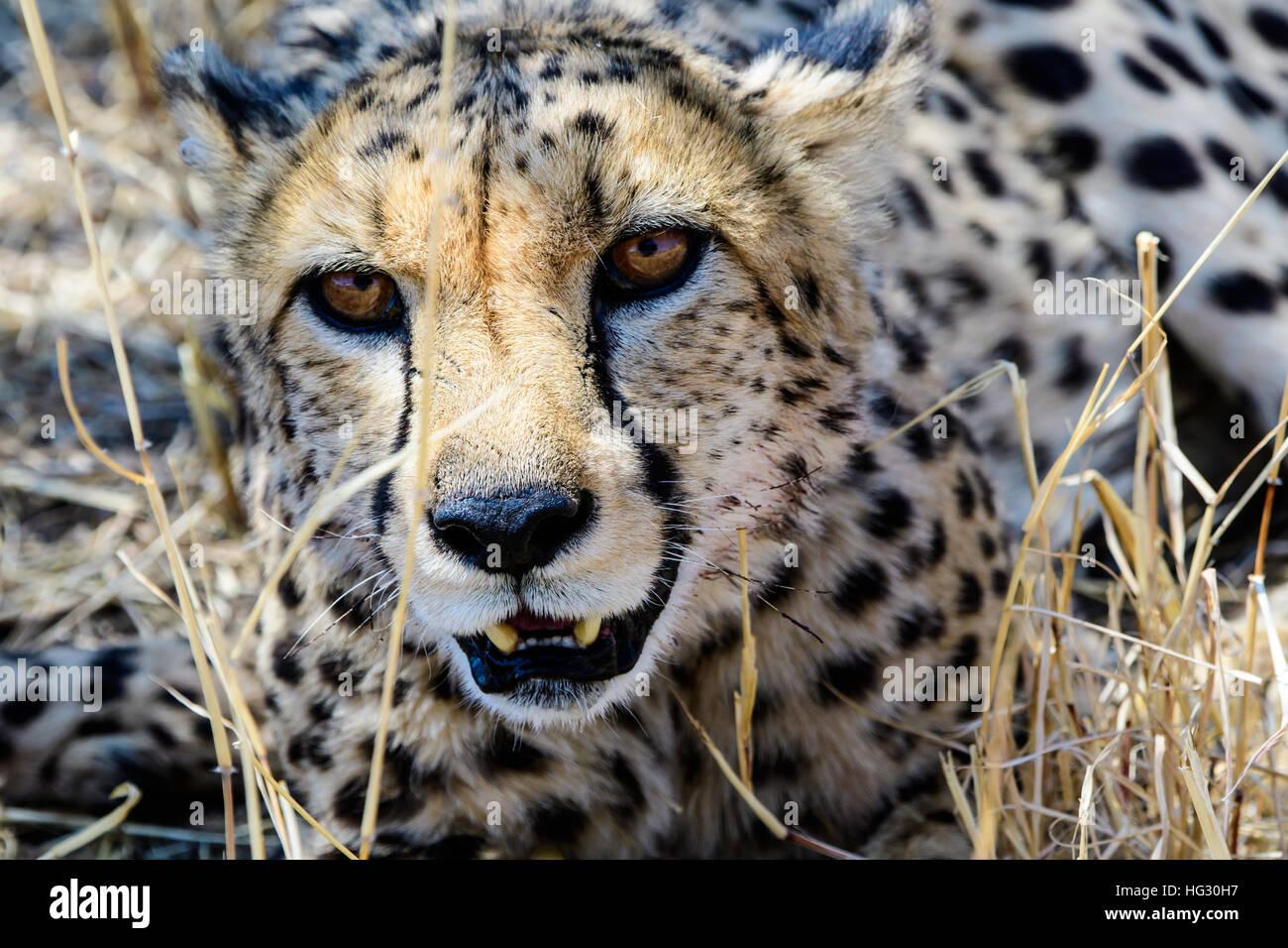Piercing eyes of a Cheetah - Stock Image