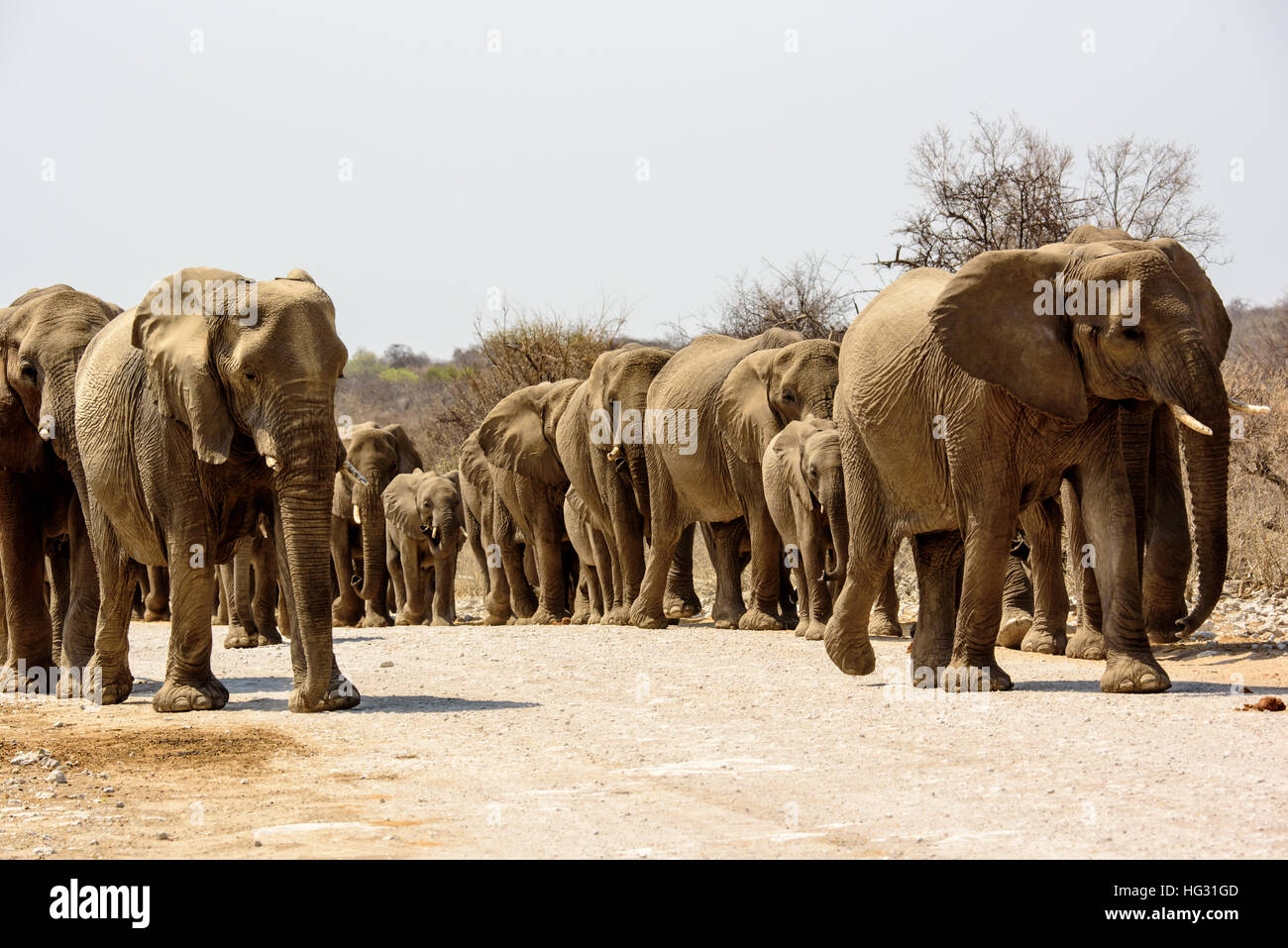 herd of elephants approaching - Stock Image