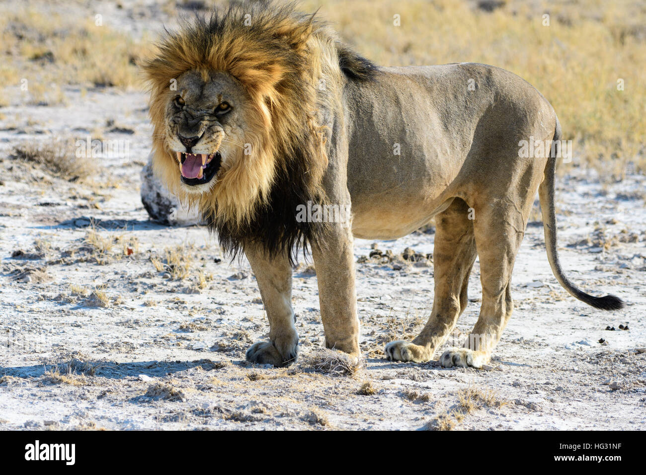 Snarling male Lion trying to intimidate - Stock Image