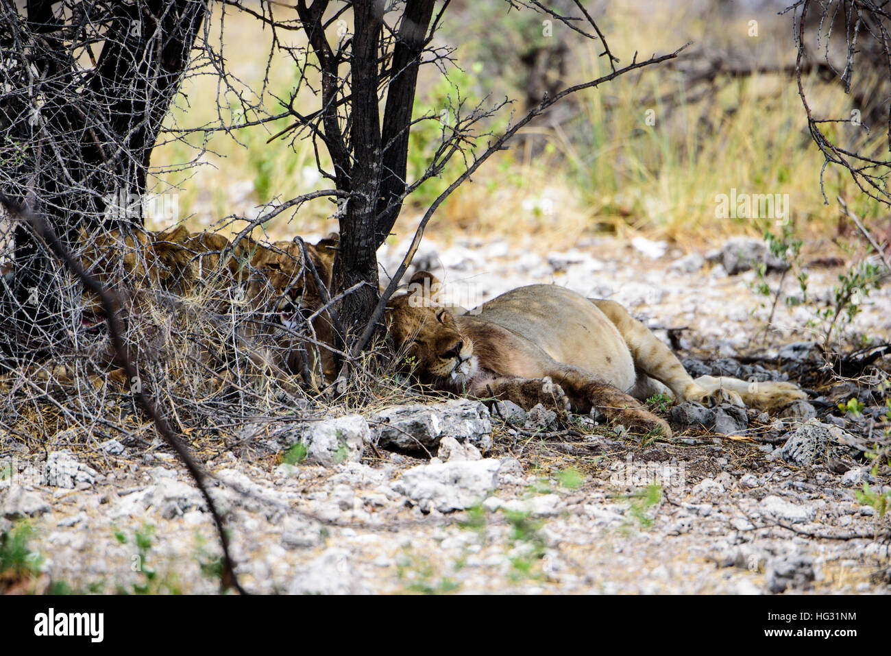 lionesses dozing under a tree - Stock Image