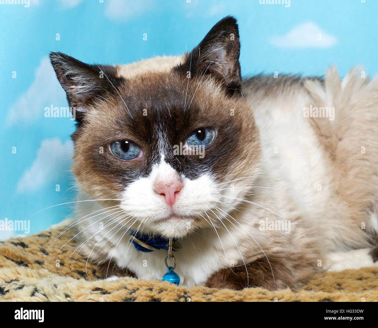 chocolate point siamese cat stock photos amp chocolate point