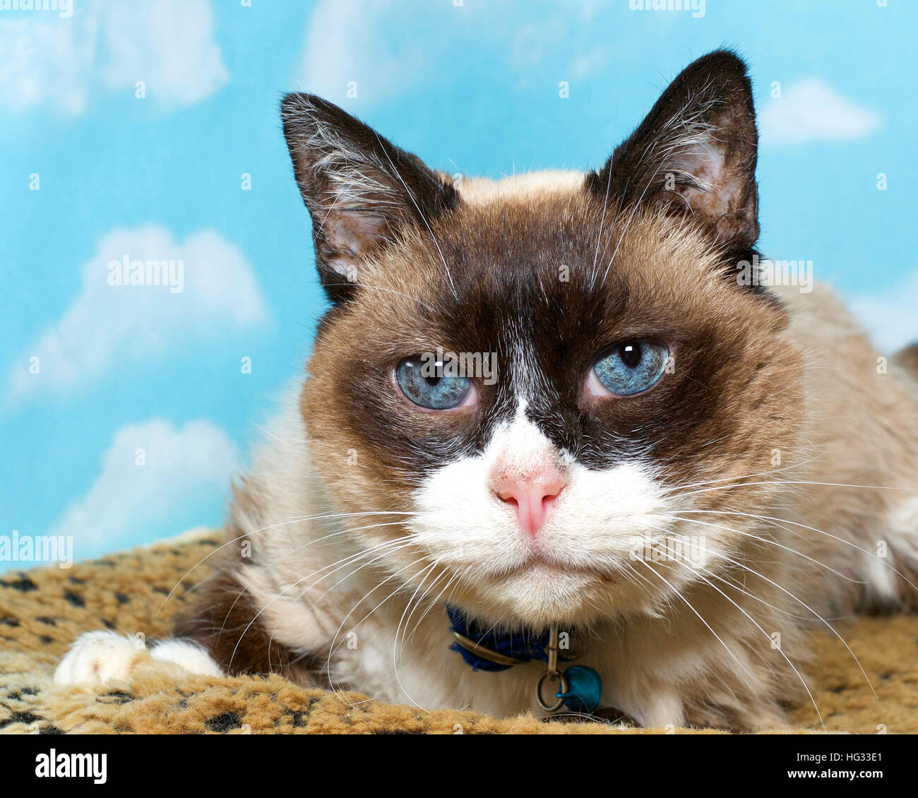 portrait of a chocolate point siamese cat on leopard print