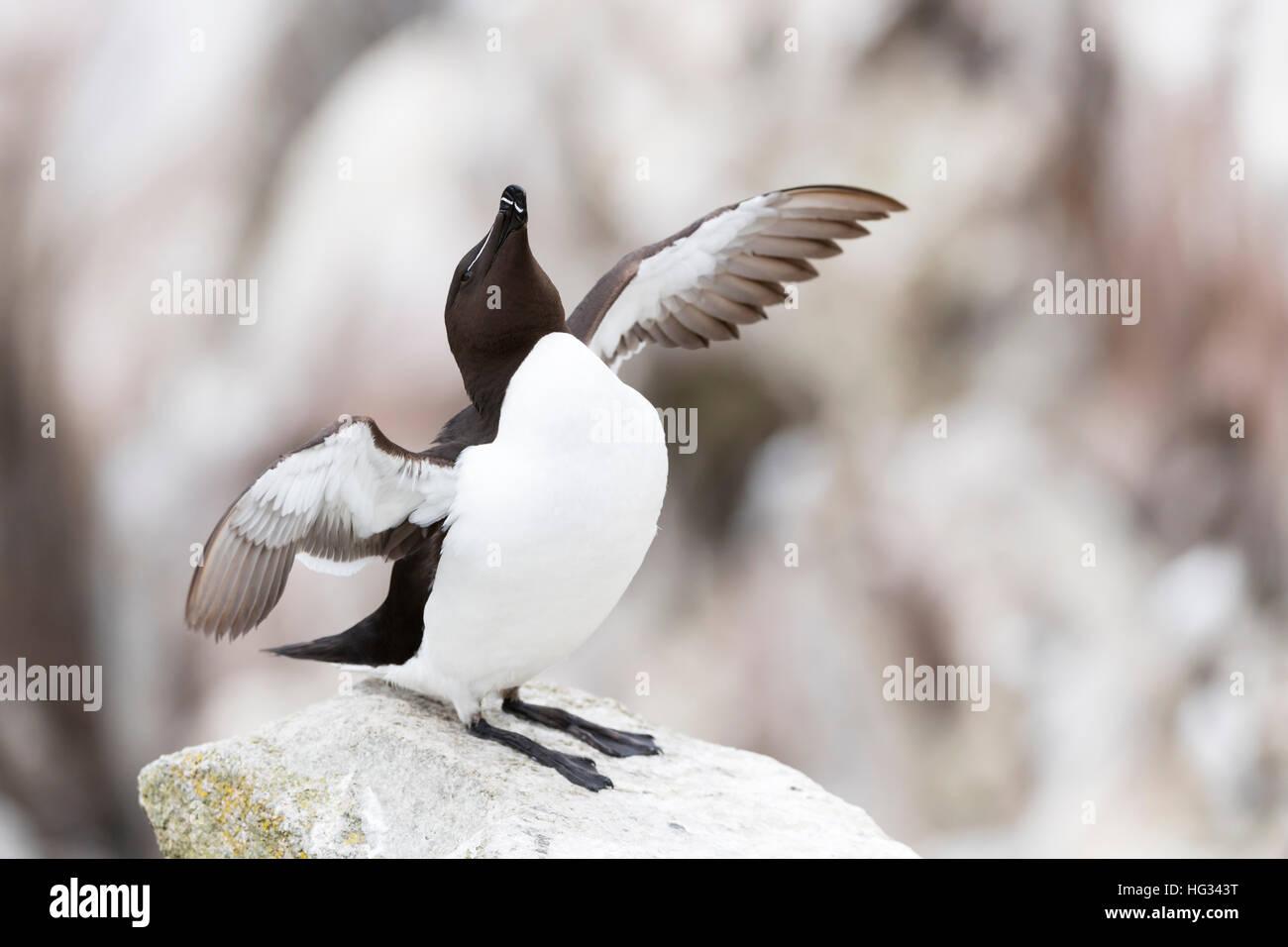 Razorbill (Alca torda) adult, standing on rock of coastal cliff, flapping wings, Great Saltee, Saltee Island, Ireland. - Stock Image