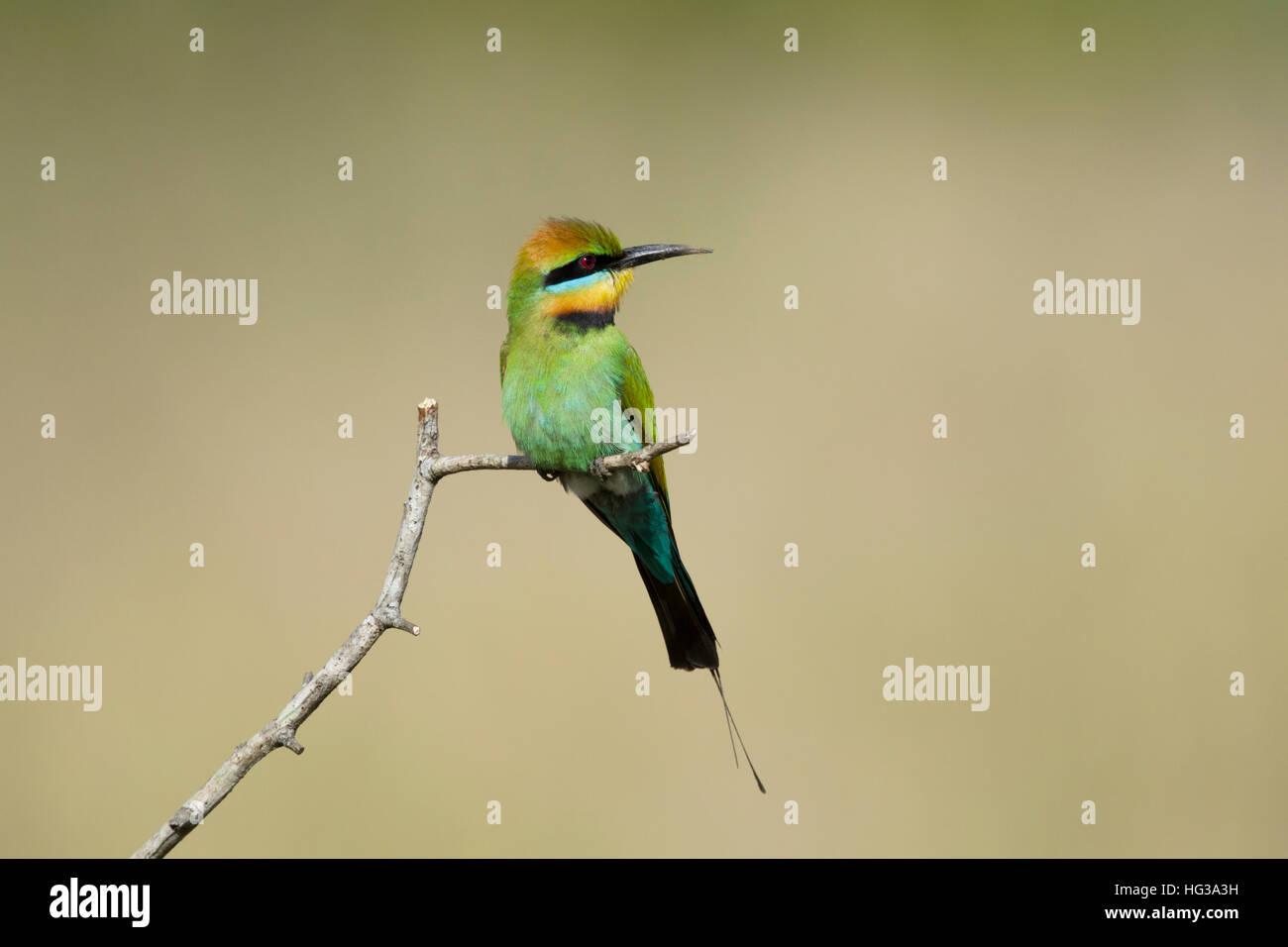 Rainbow Bee-eater Merops ornatus Gold Coast Queensland, Australia BI029227 - Stock Image