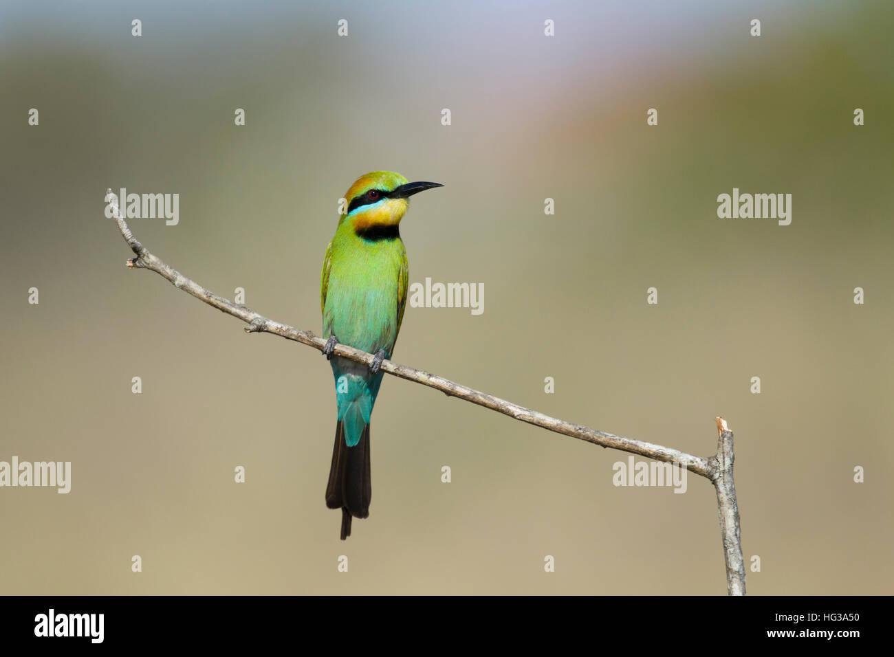 Rainbow Bee-eater Merops ornatus Gold Coast Queensland, Australia BI029229 - Stock Image