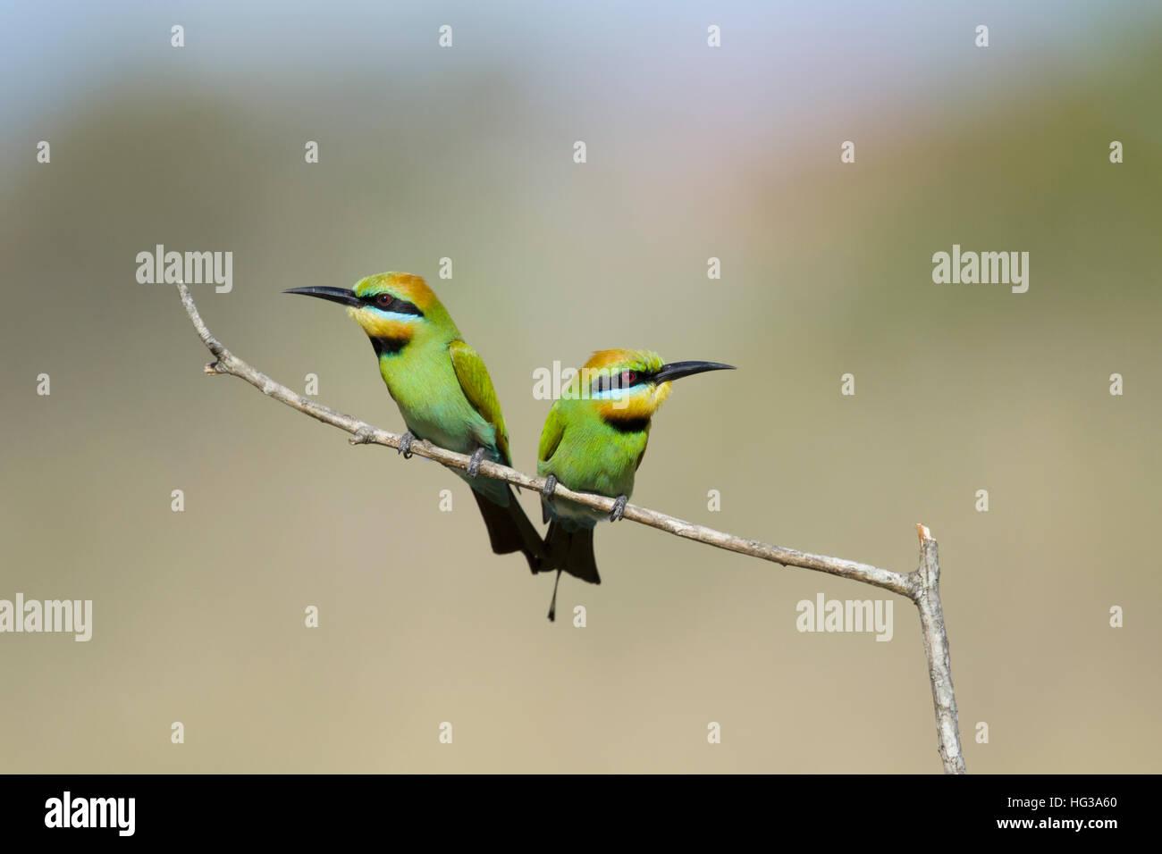 Rainbow Bee-eater - pair Merops ornatus Gold Coast Queensland, Australia BI029232 - Stock Image
